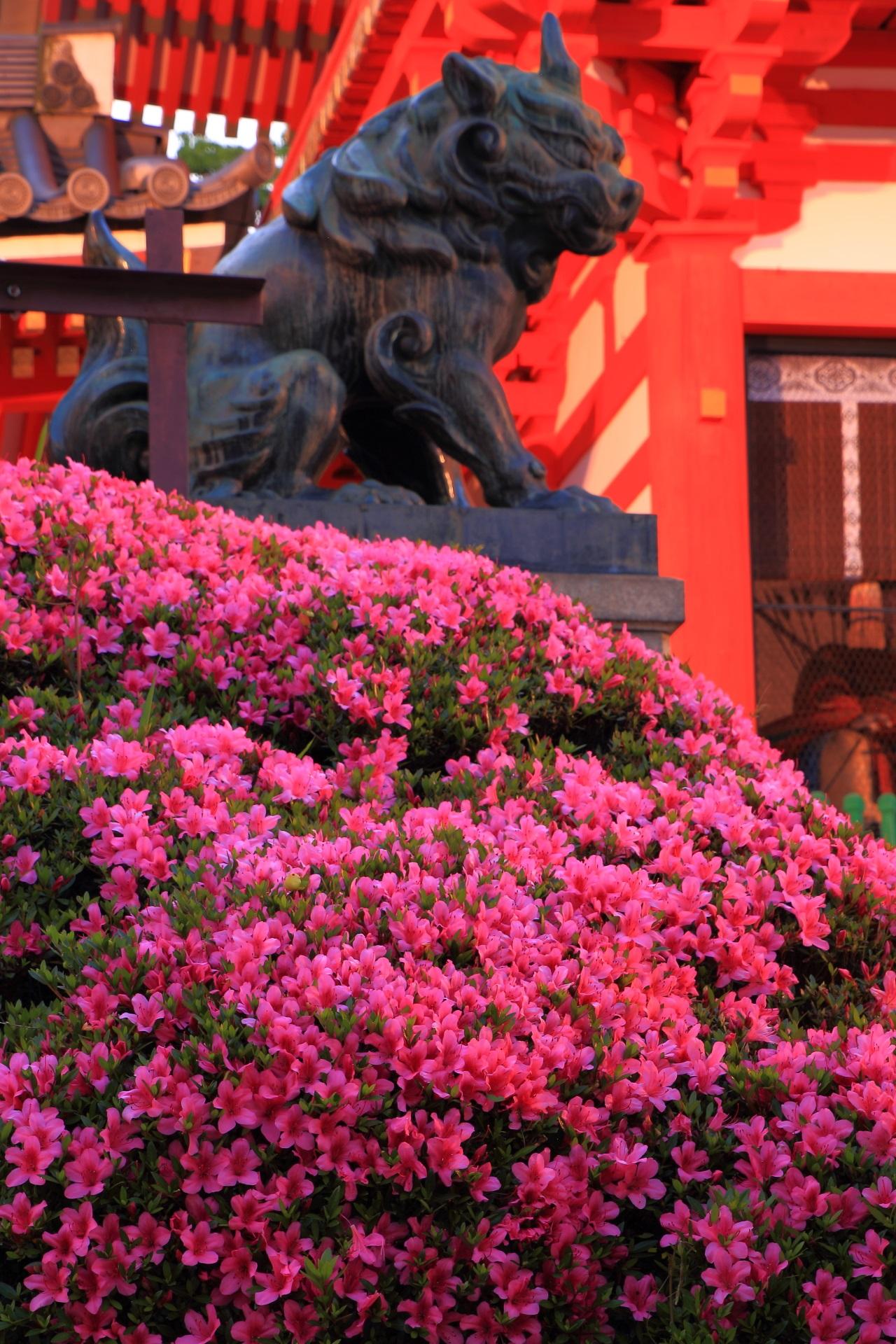狛犬さんと夜明けの妖艶なサツキ