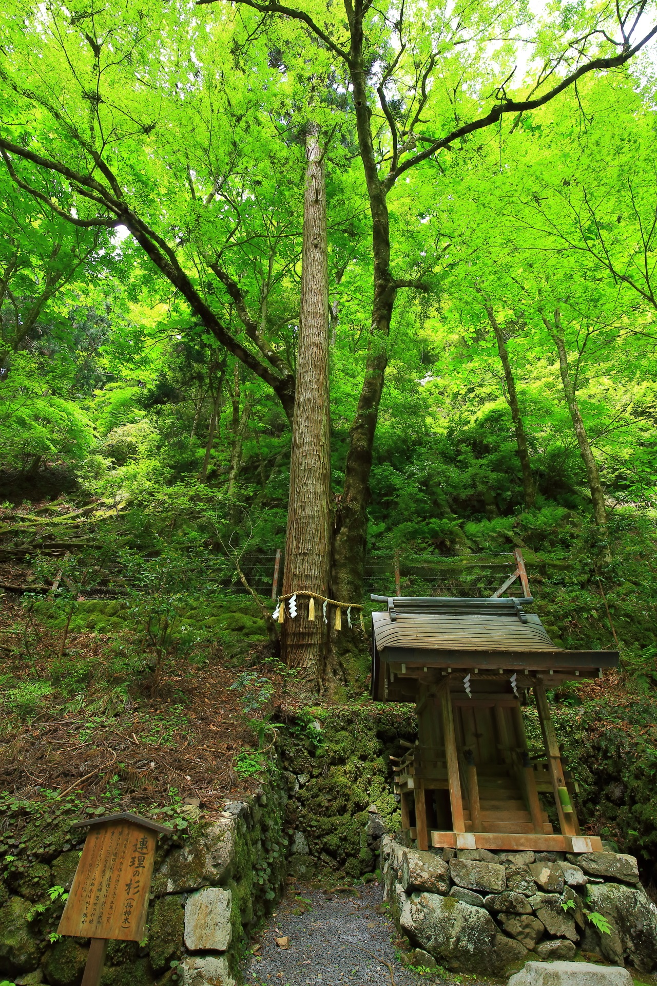 貴船神社の奥宮の連理の杉