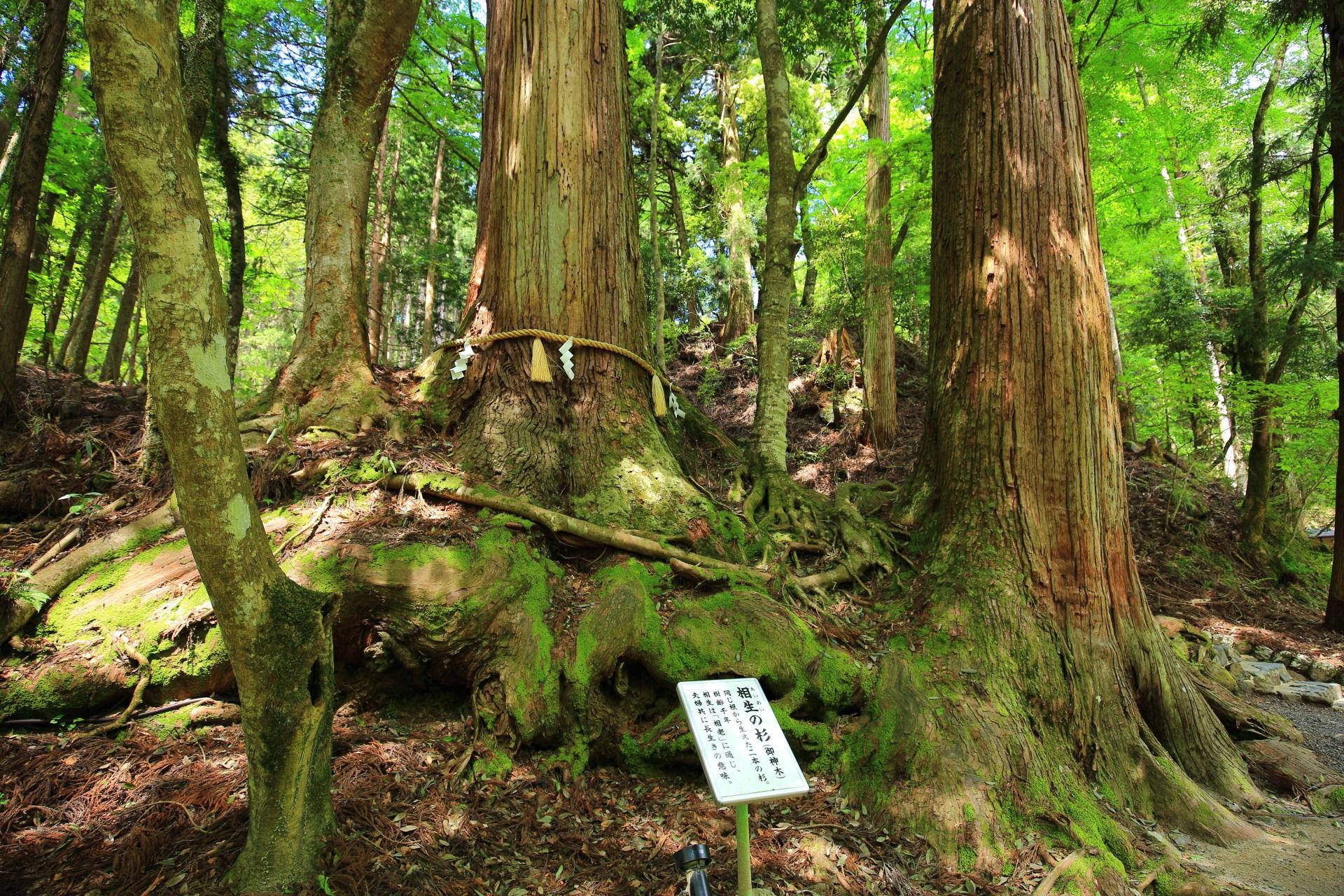 相生の杉 貴船神社