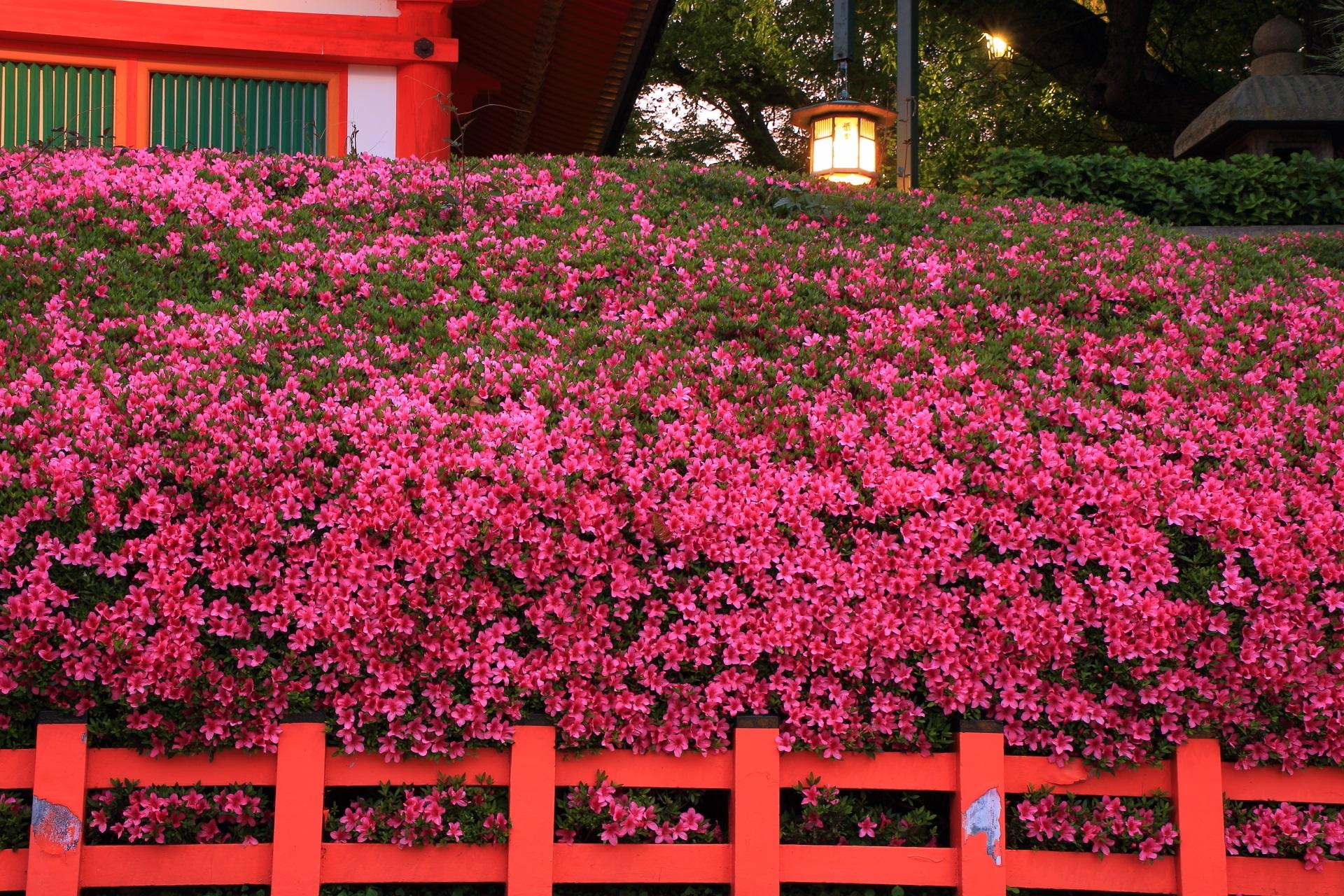 鮮やかなサツキにつつまれる春の八坂神社
