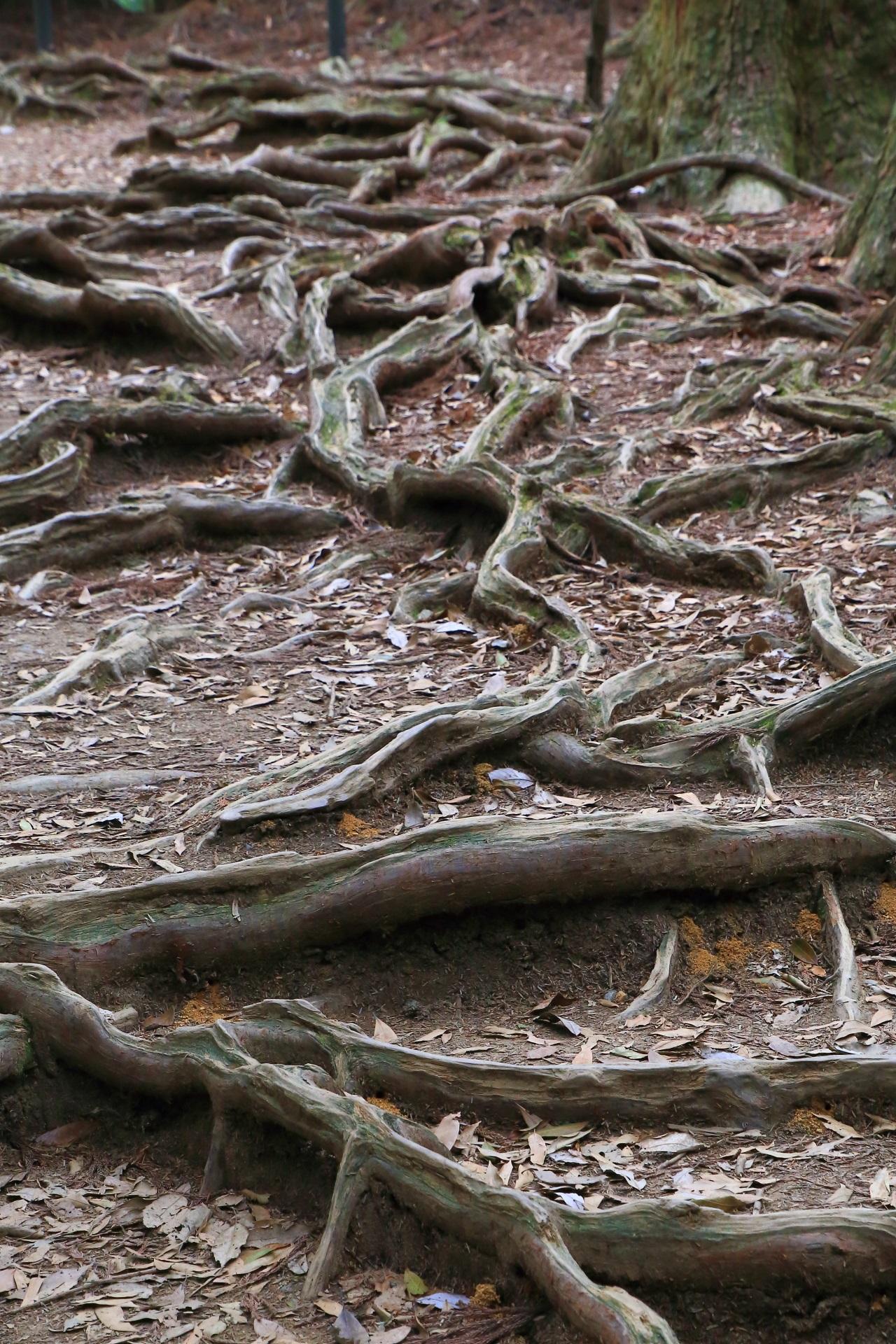 自然や地球のなせる業である太い木の根が地上に延びた木の根道