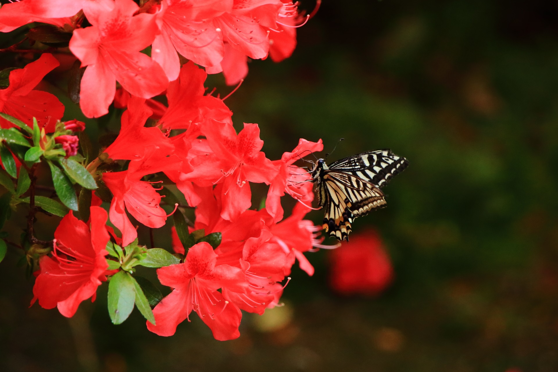 良い感じにアゲハ蝶がいるツツジの絵になる春の風景