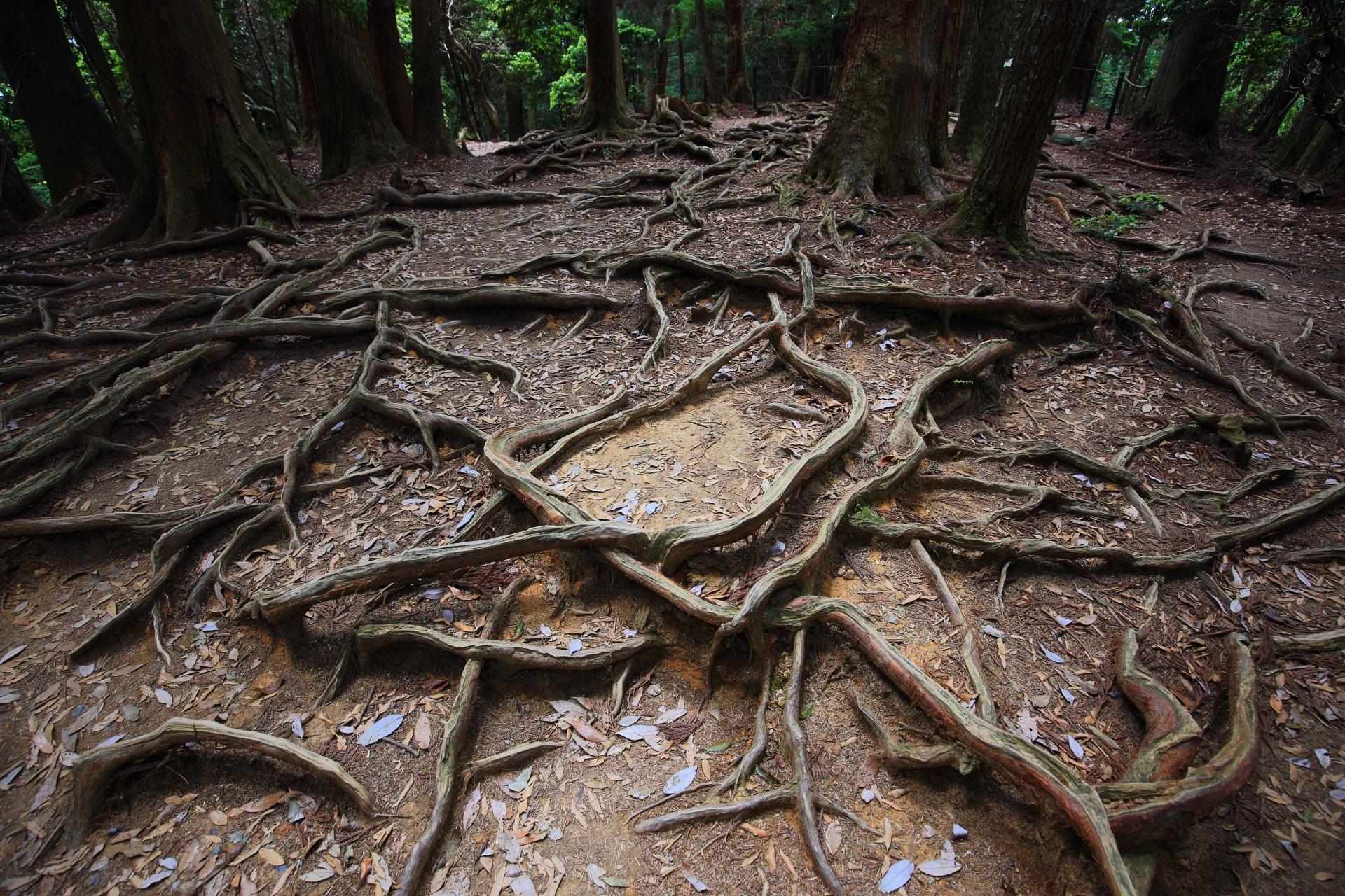 鞍馬山の名所の「木の根道」