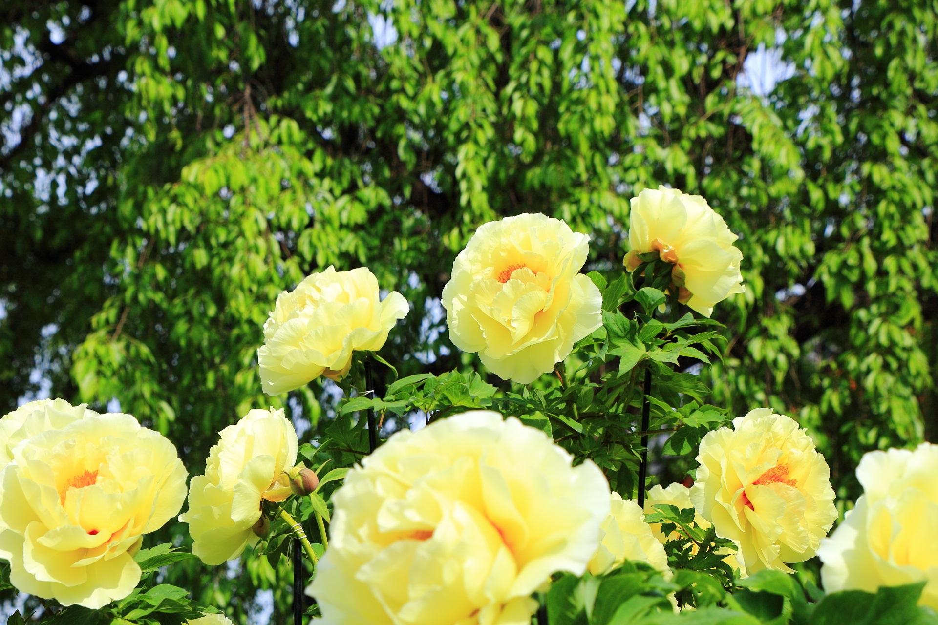 しだれ桜の緑と牡丹の黄色のコントラスト