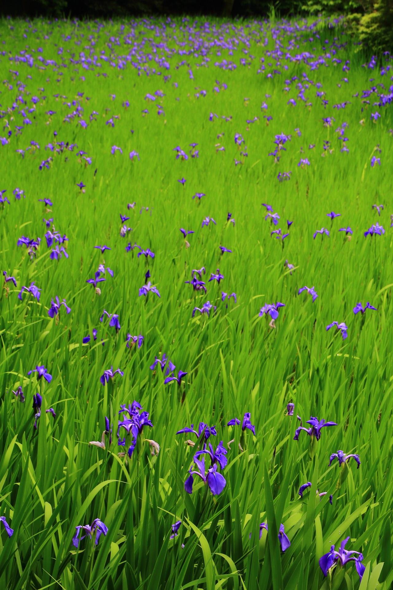 Kyoto Ota-jinja Shrine iris