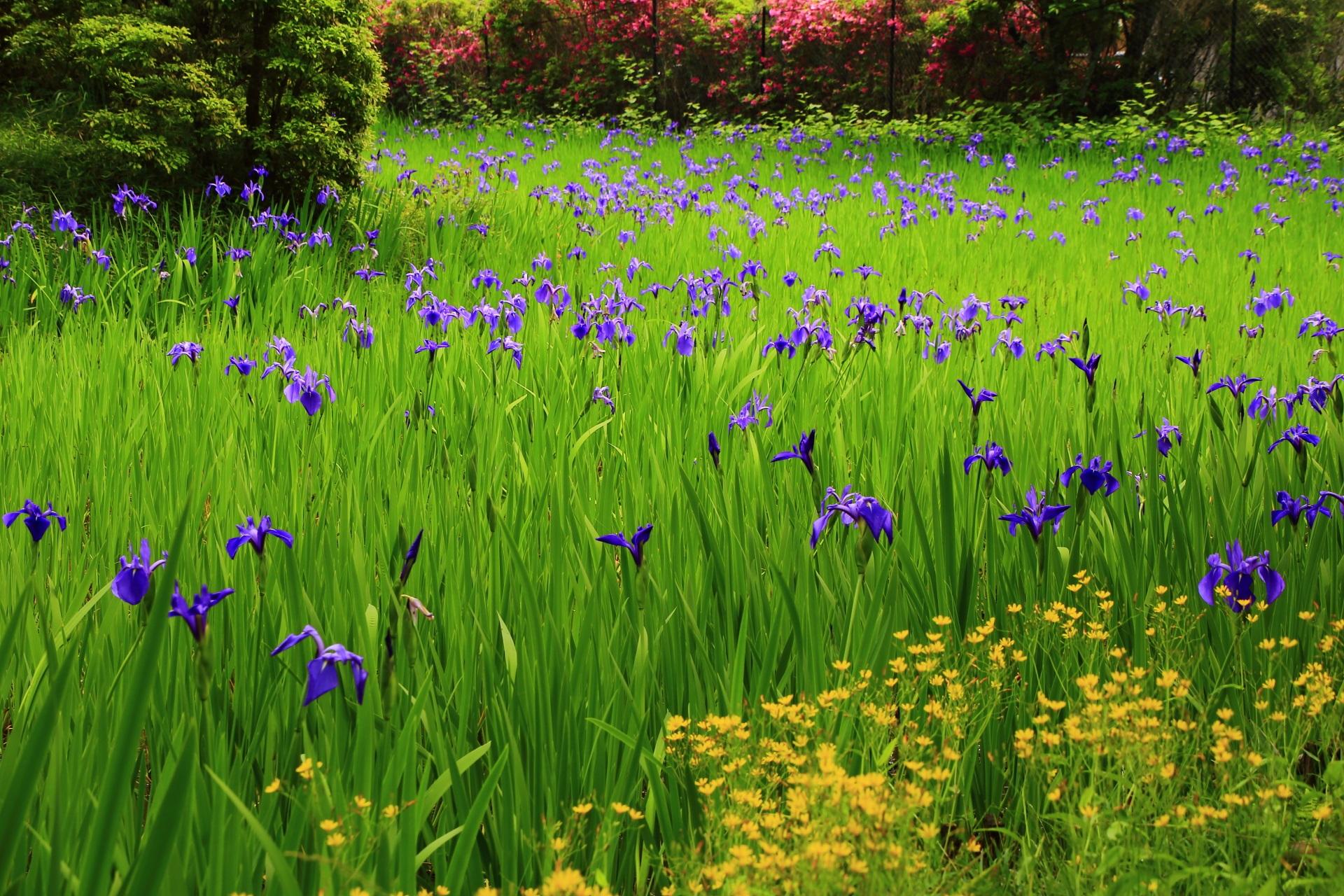 奥にはツツジが見える大田神社の春の花の競演
