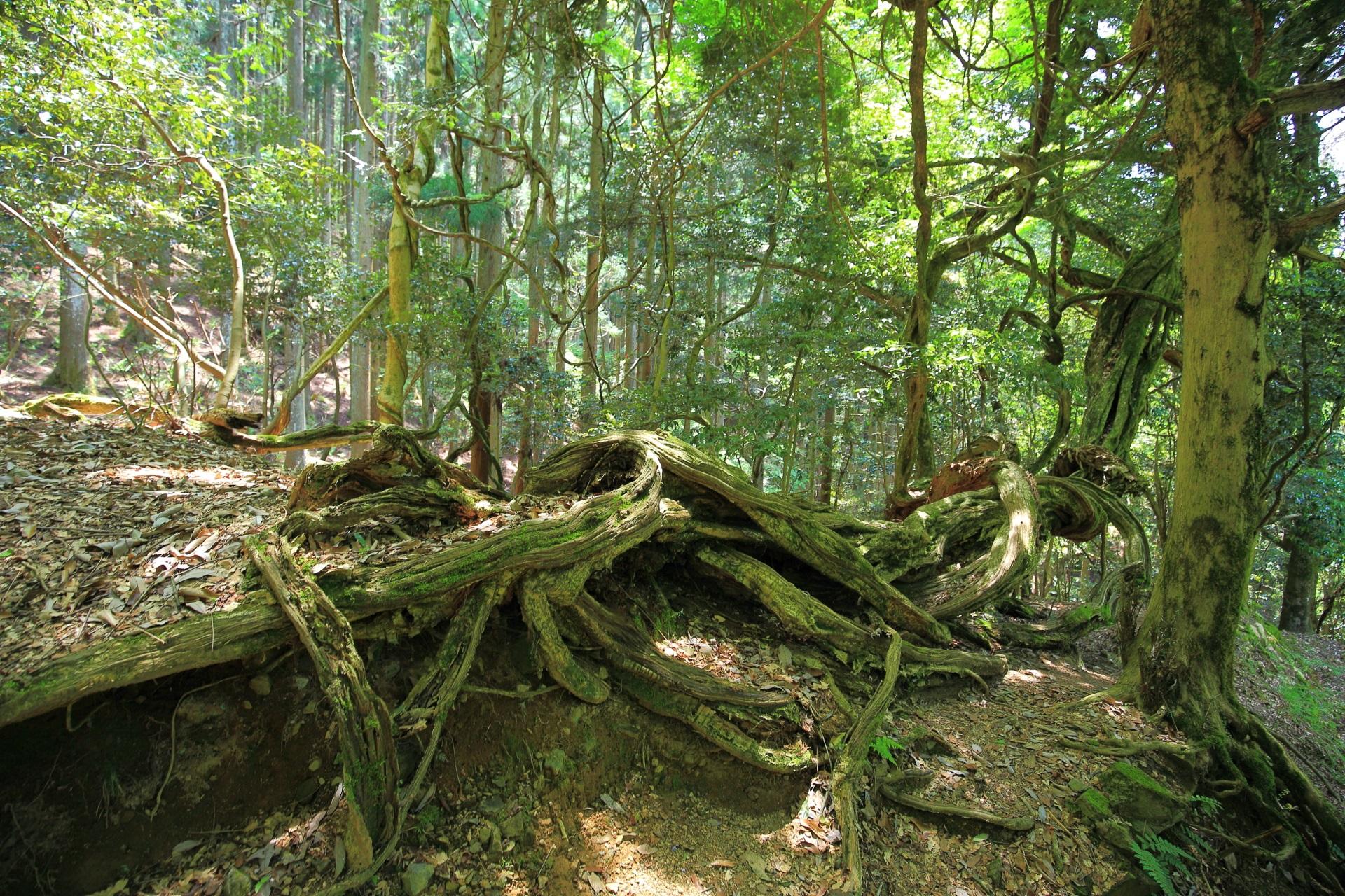 鞍馬山のくねくねした木