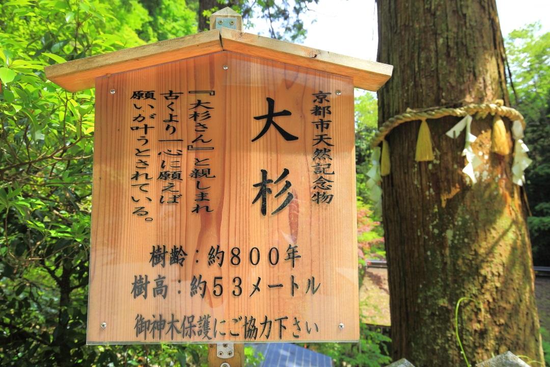 京都市天然記念物の「大杉」