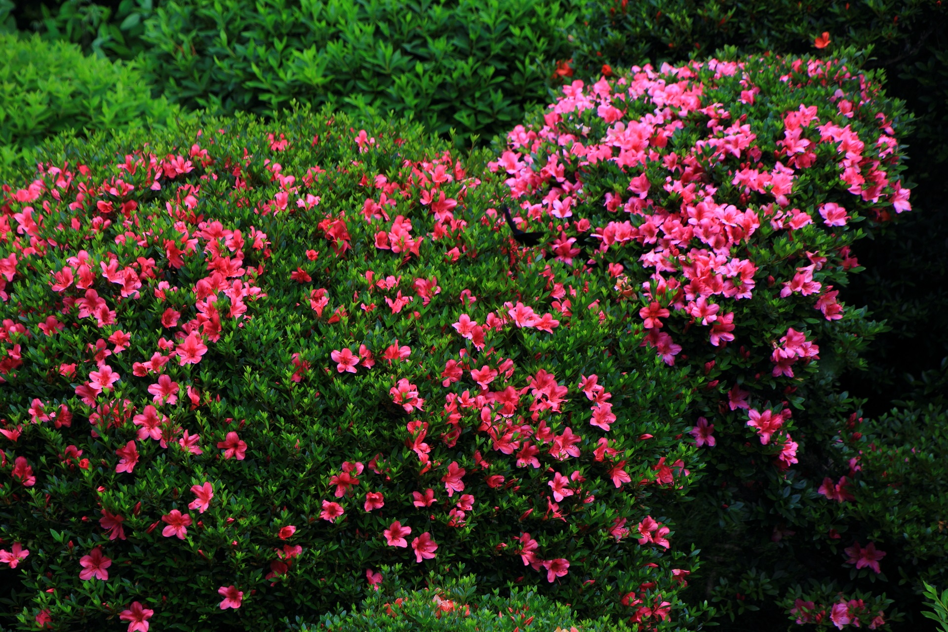 安楽寺の書院庭園の満開のサツキの花