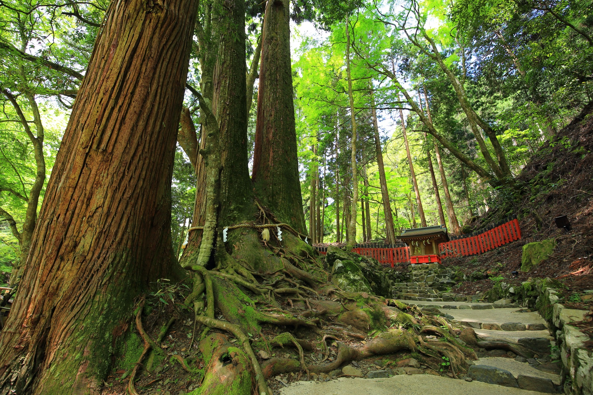 夫婦円満の相生の杉