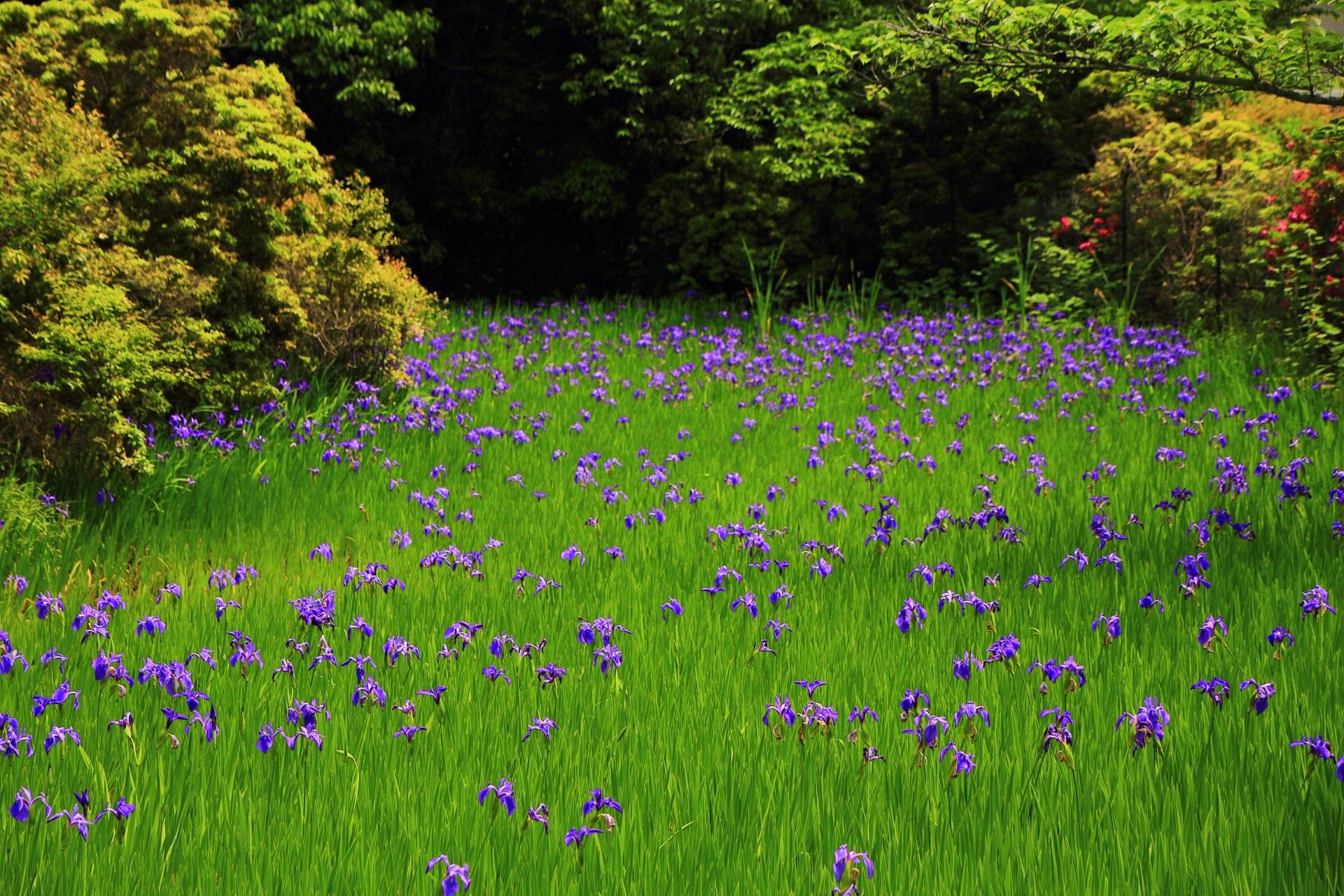 杜若の咲く大田神社の華やかな春の色合い