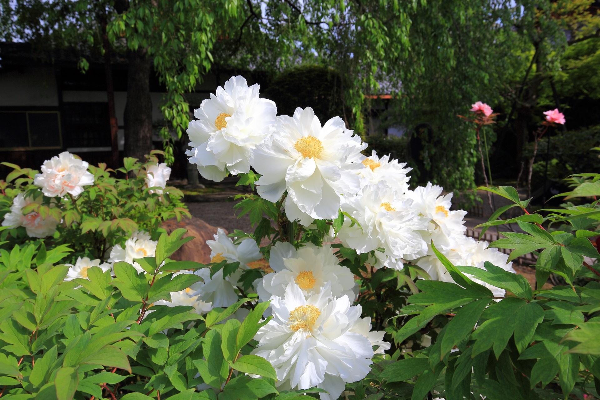 本満寺の爽やかな白色の牡丹