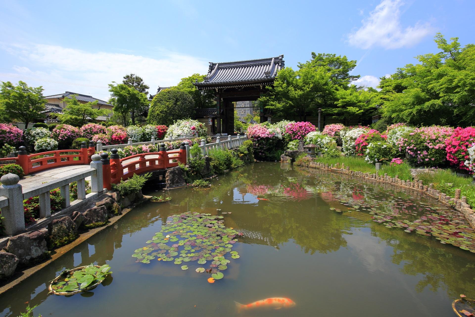 ツツジに彩られる山門前の池と泳ぐ鯉