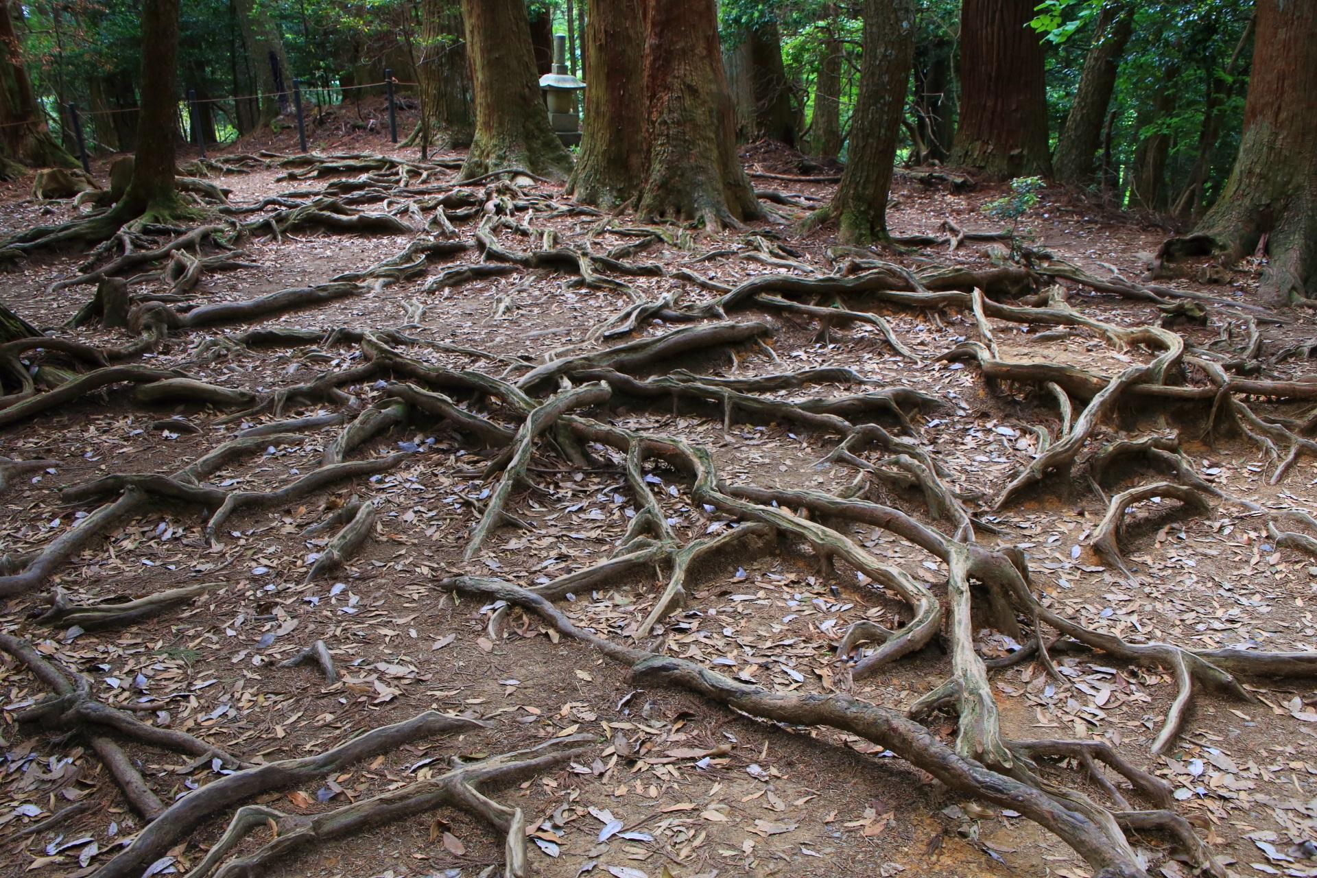 ここを目当てに来る人も多い鞍馬山の名所の木の根道