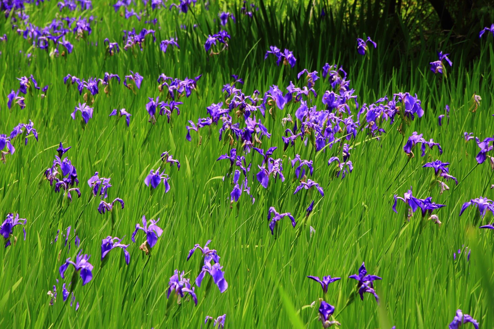 緑の中で揺らめく紫の杜若の花