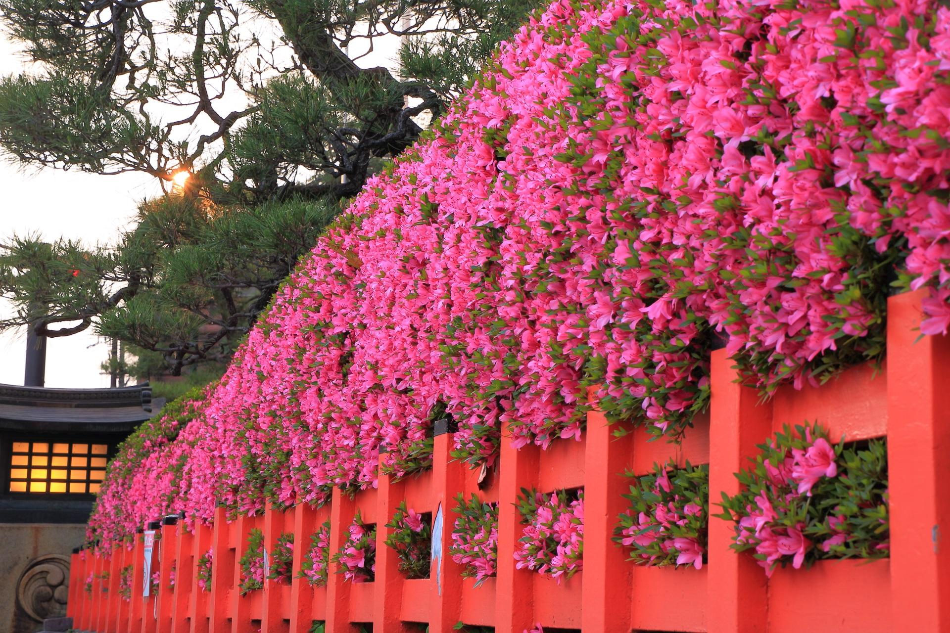 八坂神社の絵になるサツキの情景