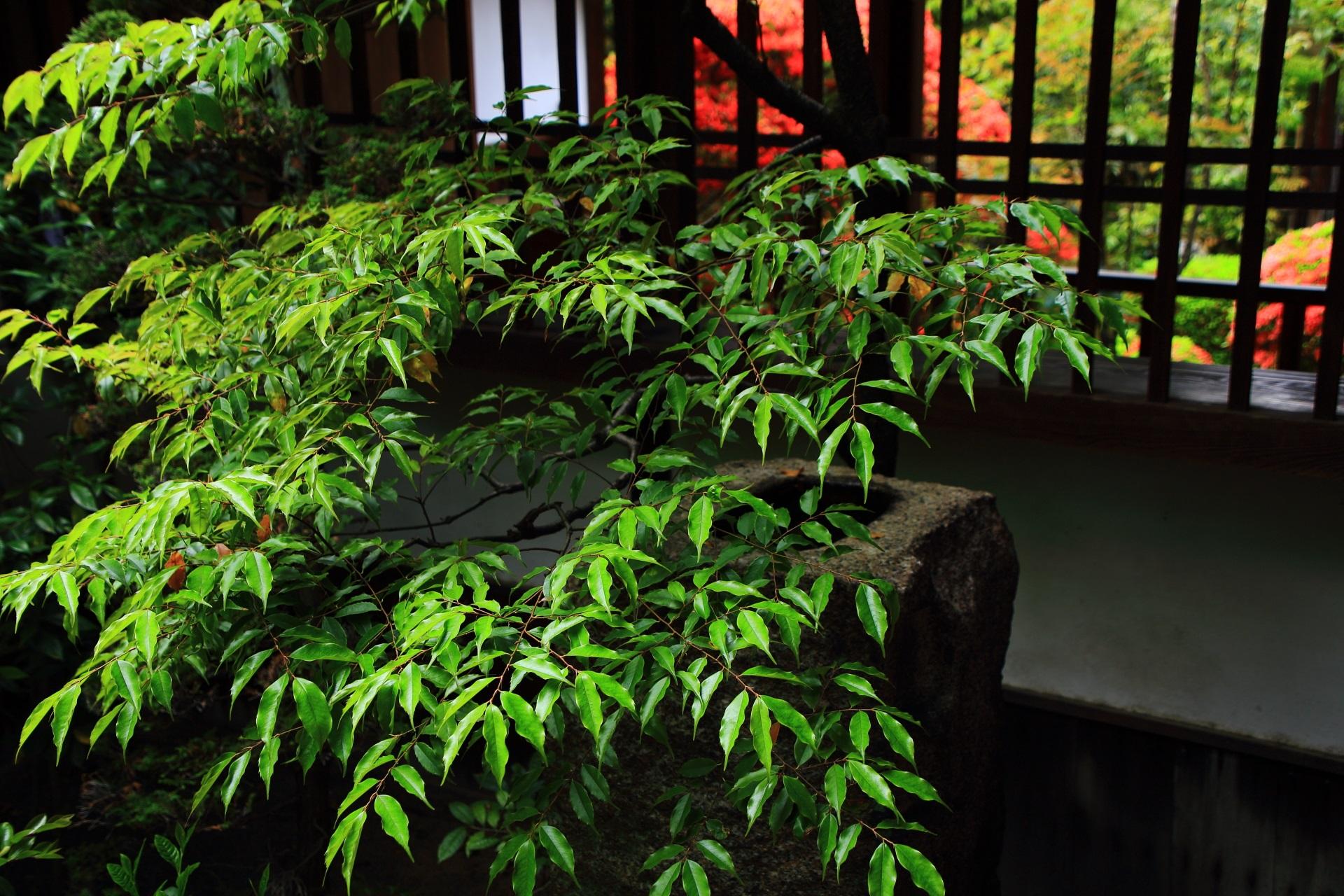 正伝永源院の方丈西側の庭園の赤い躑躅と絶品の緑