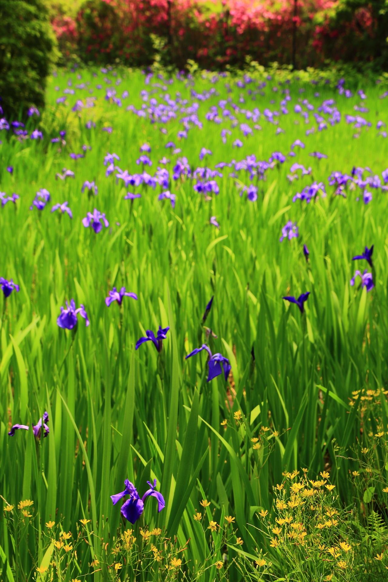 鹿の食害で杜若の花が激減した大田神社