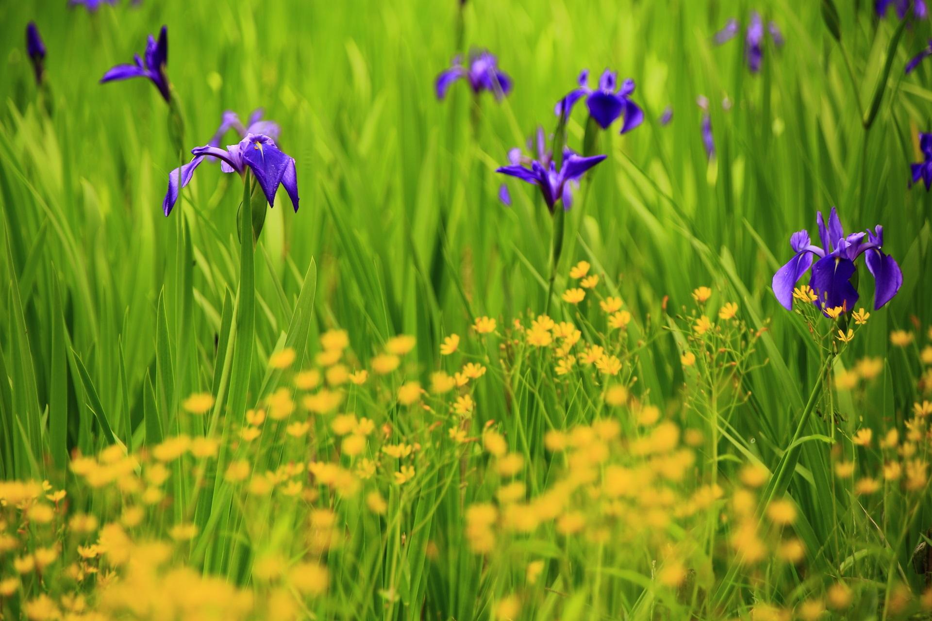 大田神社の黄色い花と紫の杜若の花のコラボレーション