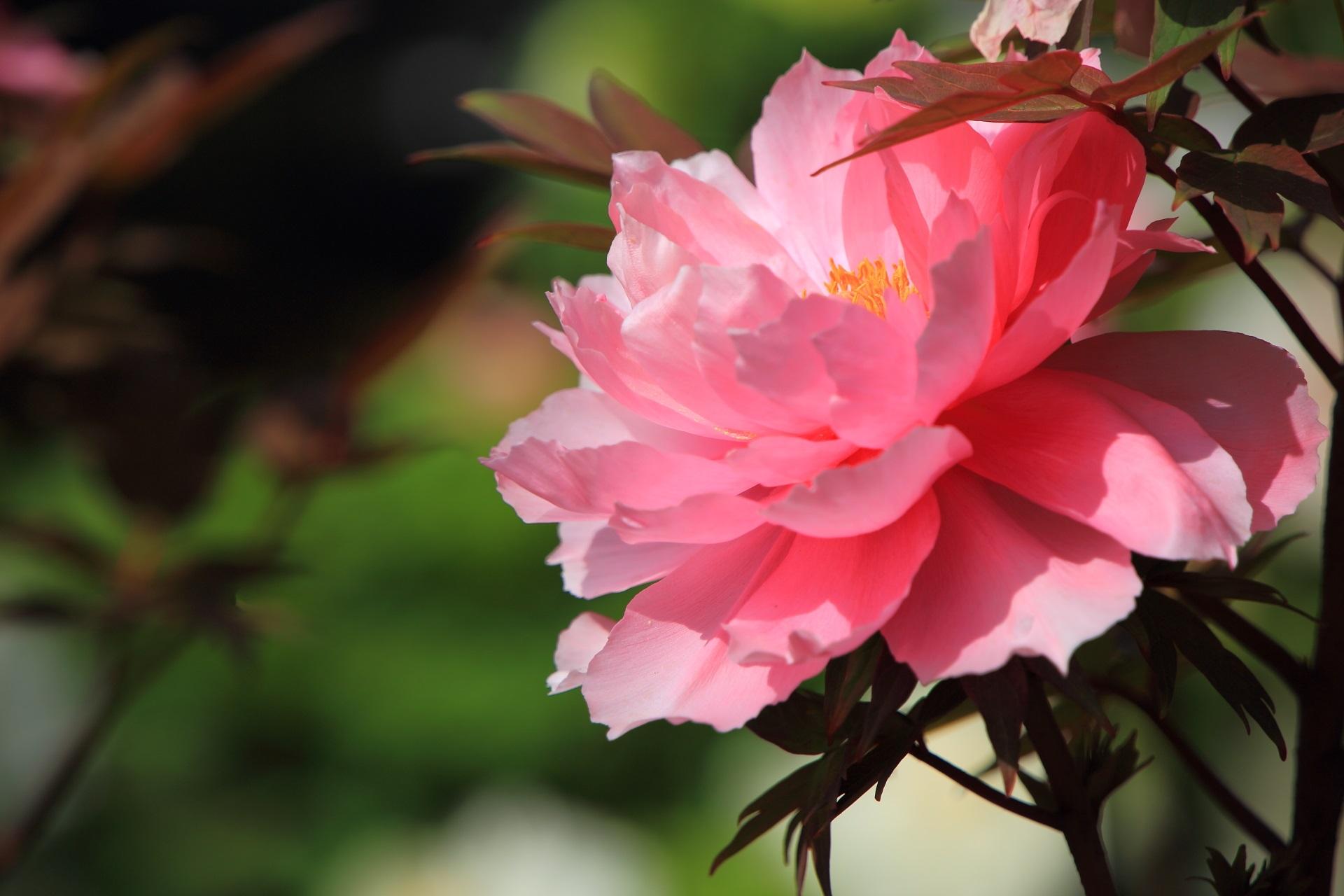 可愛いピンク色の牡丹