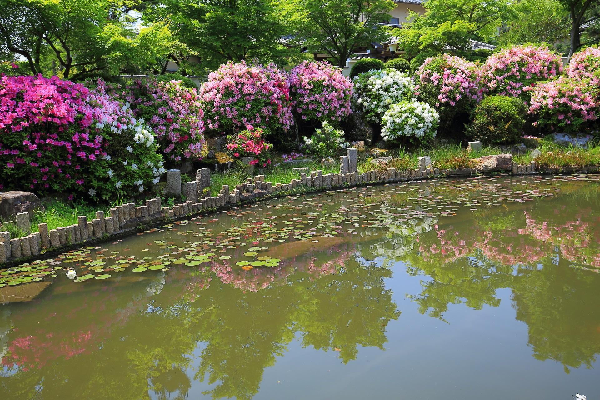 妙満寺の池の畔のツツジとほのかな水鏡