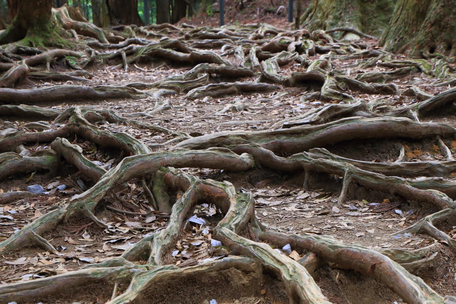 マグマによって地質が硬化し木の根が地上に伸びた木の根道