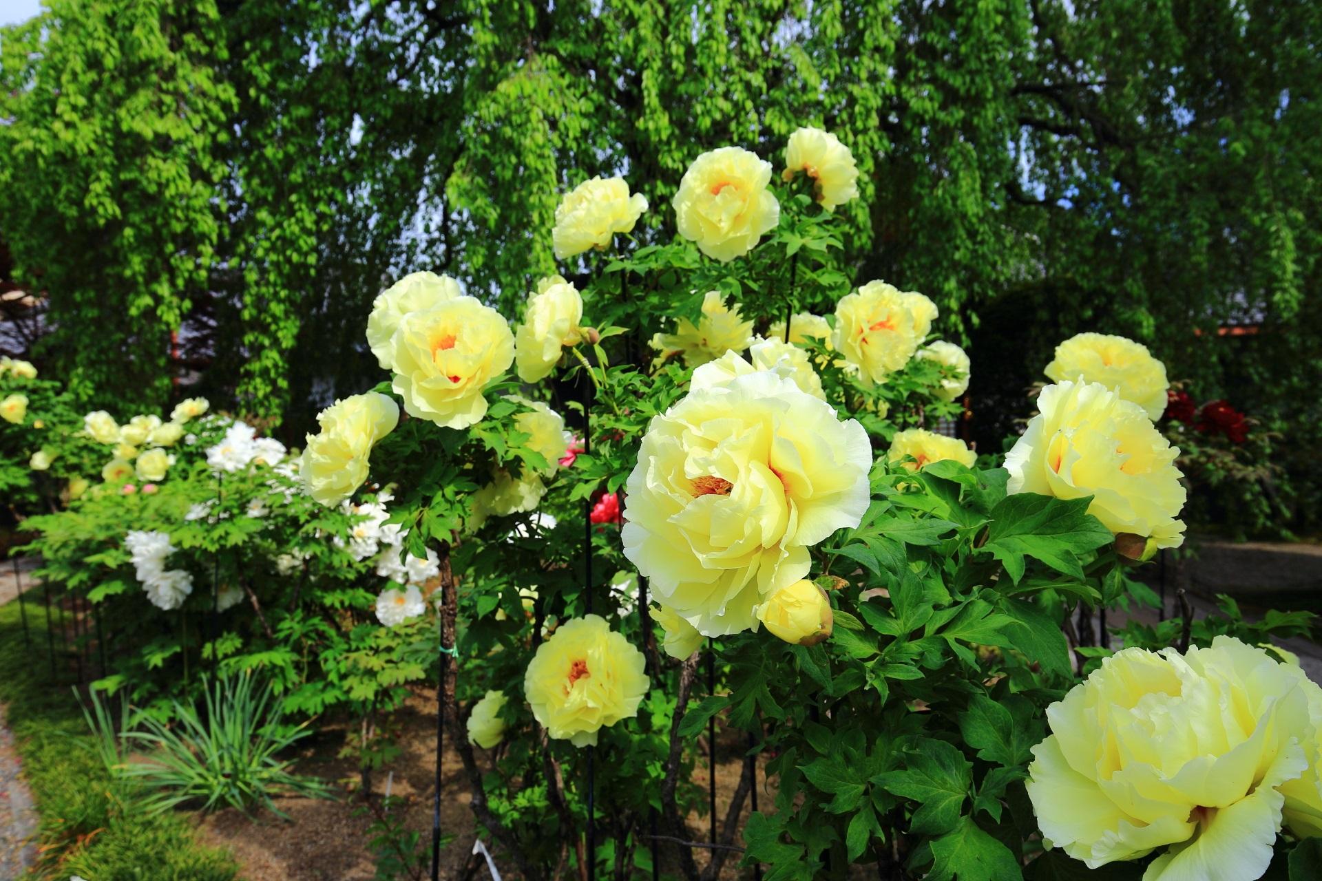 まず目に付く黄色い大きな牡丹の花