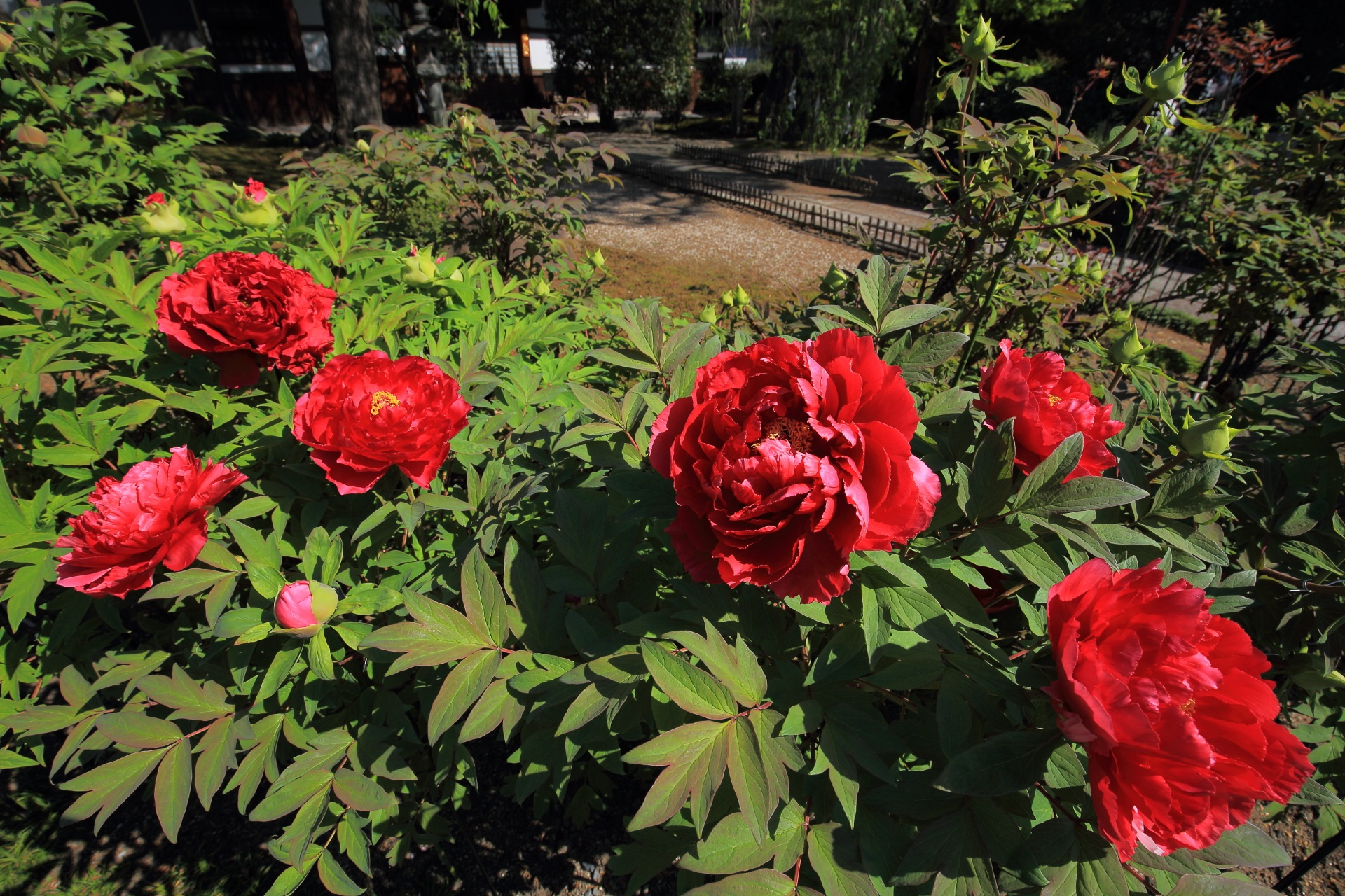 本堂前の見事な赤の大輪のボタンの花