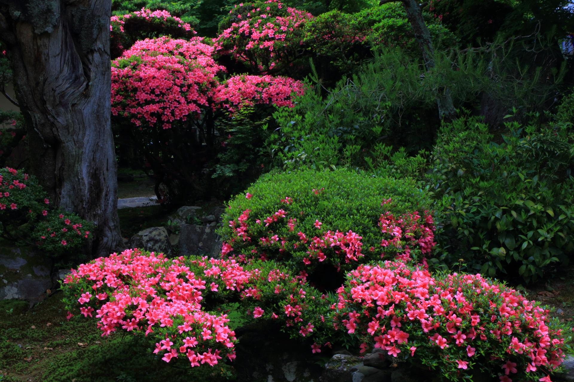 緑の中で煌くピンクのサツキの花