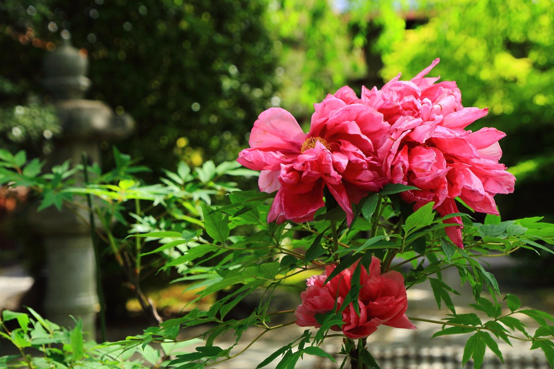 緑とも良く合う妖艶なピンク色の牡丹
