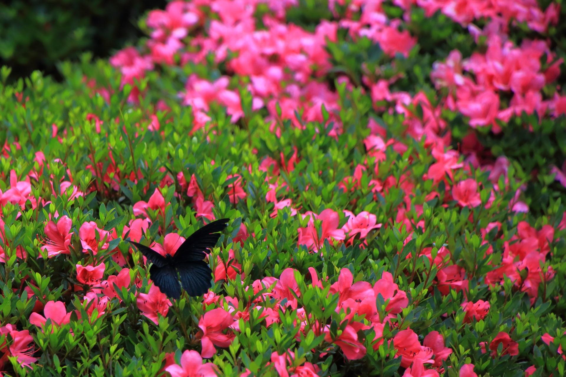 安楽寺のサツキの花で戯れる黒い蝶