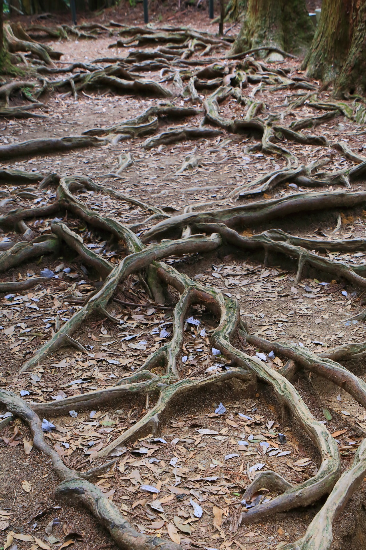 自然のパワーや生命力を感じられる鞍馬山の木の根道