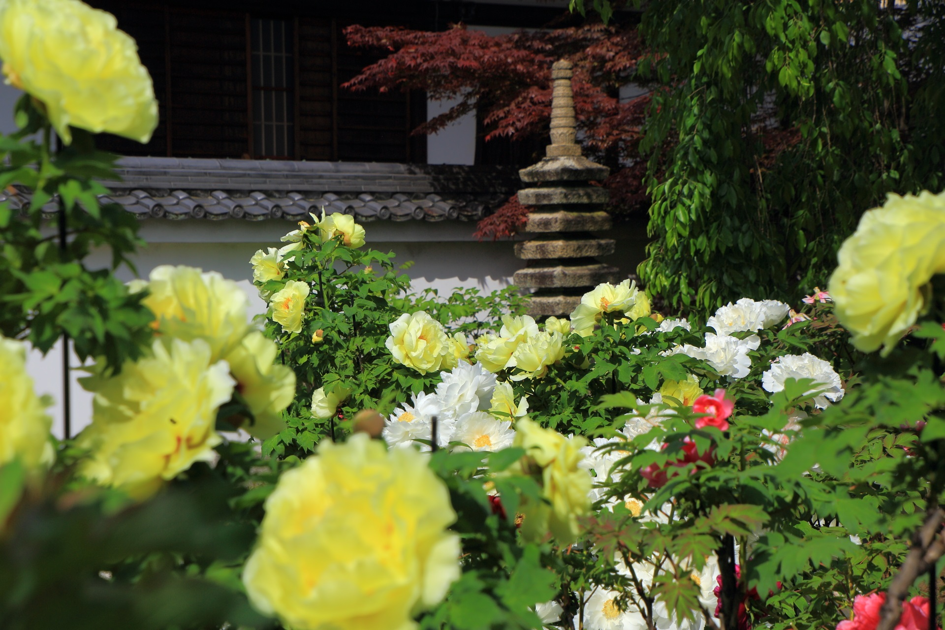 色とりどりの牡丹の花
