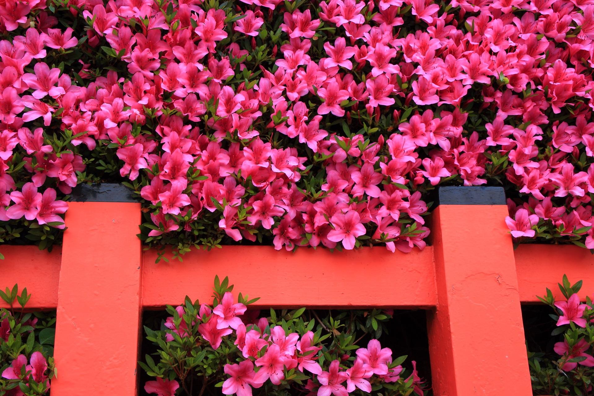 朱色の柵が演出するサツキの花