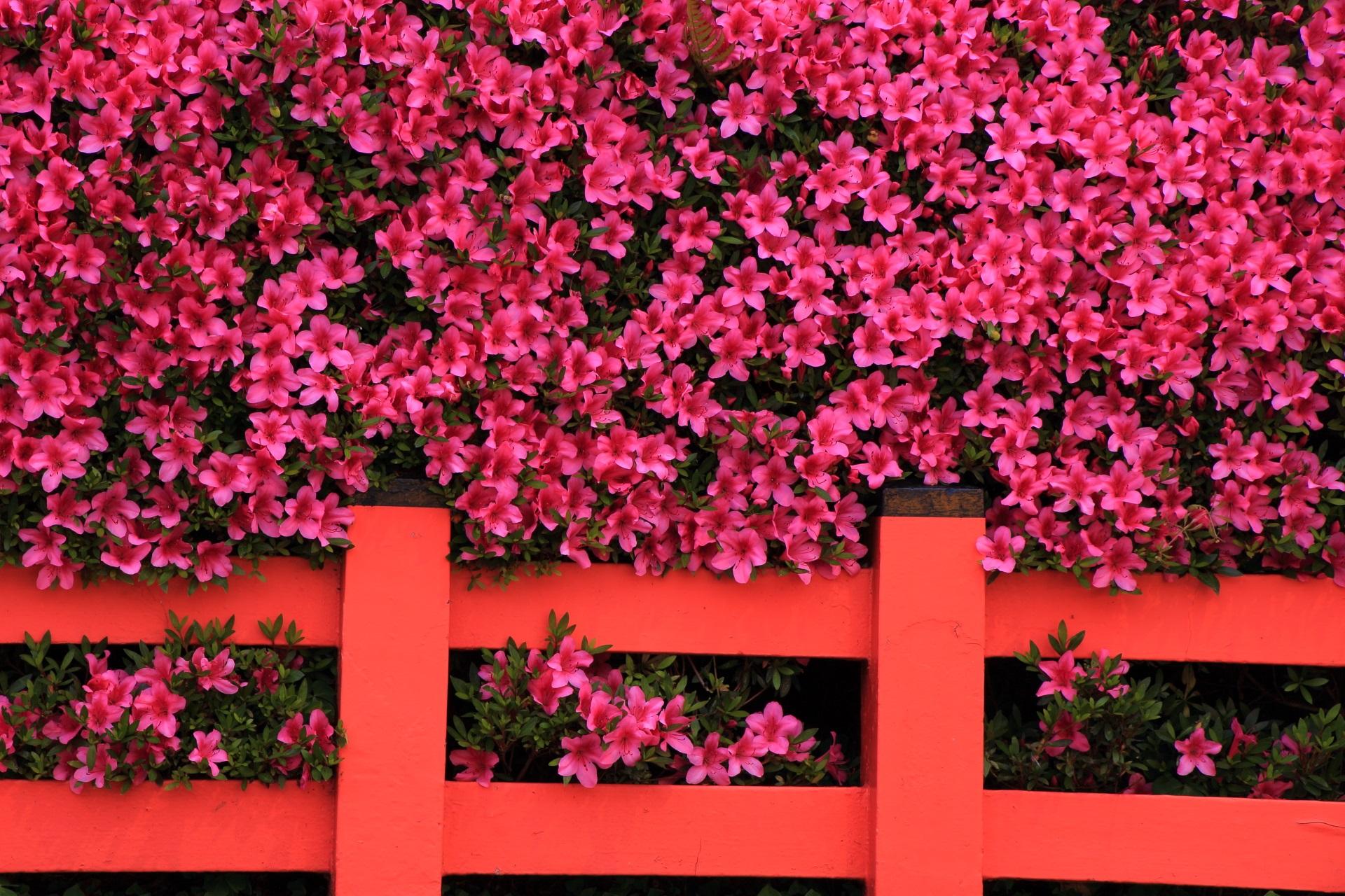 八坂神社の溢れんばかりに咲き誇る満開のさつき