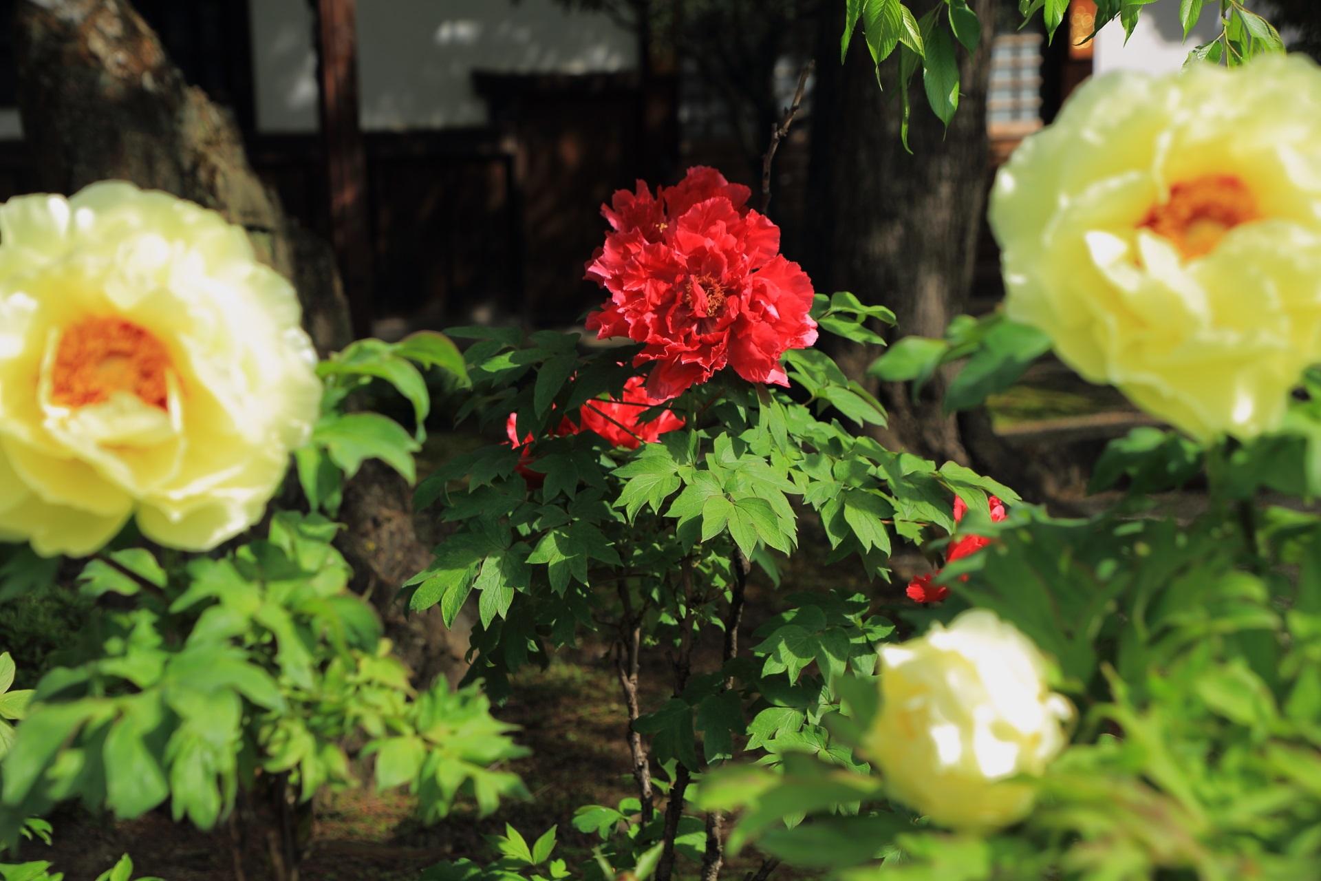 黄色の中に佇む真っ赤な牡丹の花