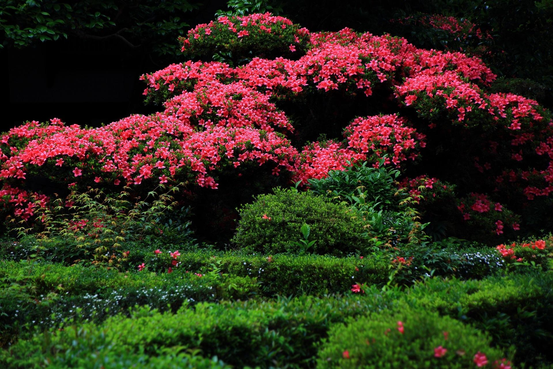 安楽寺の溢れんばかりに咲き誇る満開のサツキ