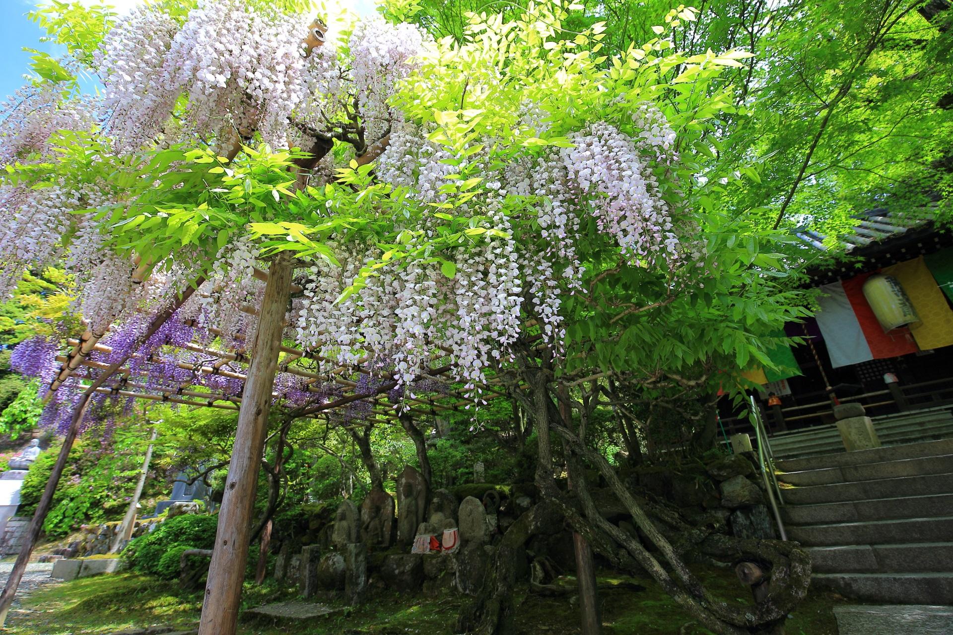 今熊野観音寺 藤 紫と白の春の彩り