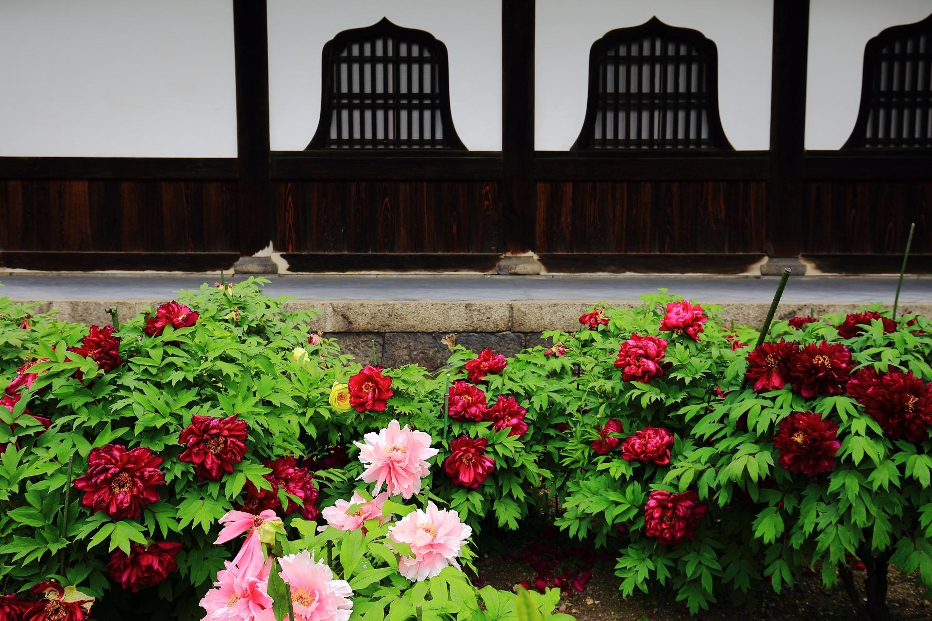 建仁寺 牡丹 法堂に咲く色とりどりのボタンの花
