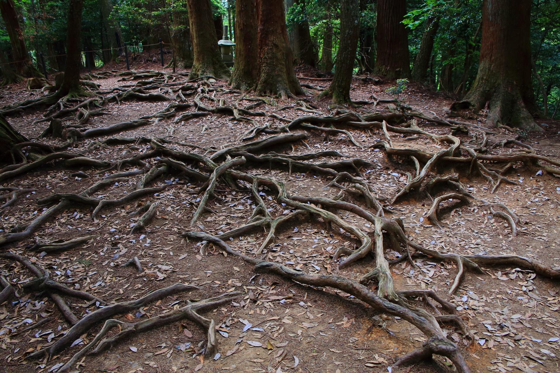 木の根道と魔王殿 鞍馬山の生命とパワー