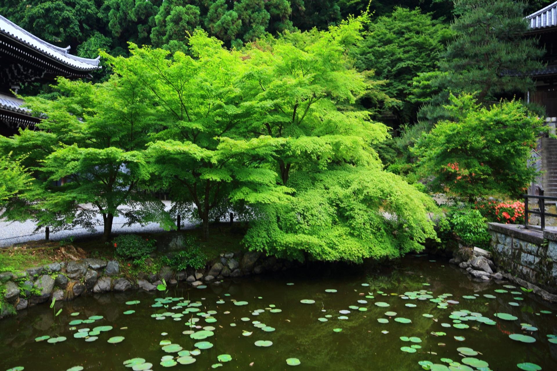 納骨堂前の水辺の美しく優雅な新緑と青もみじ