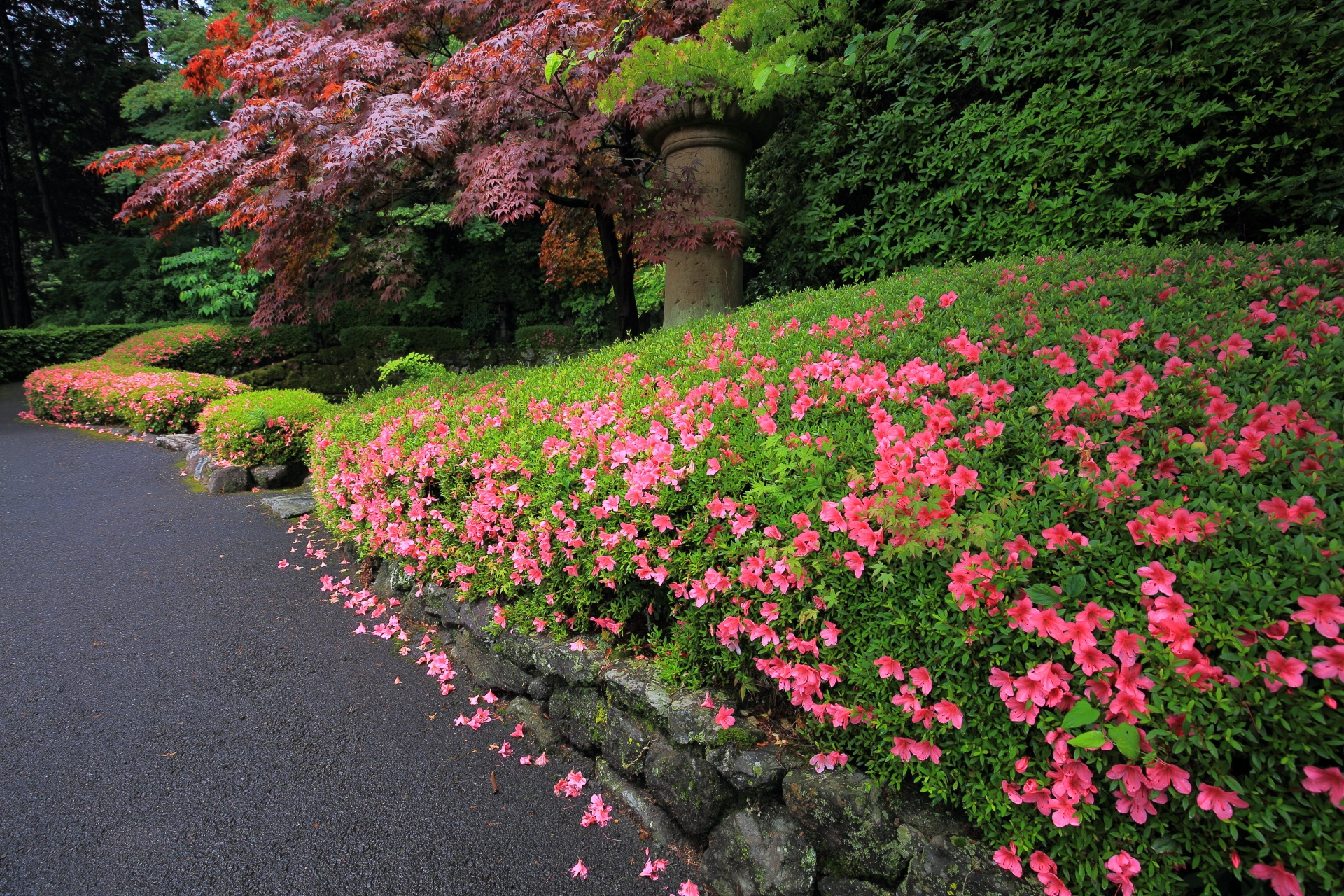 青蓮の滝の上品で控えめな美しいサツキ