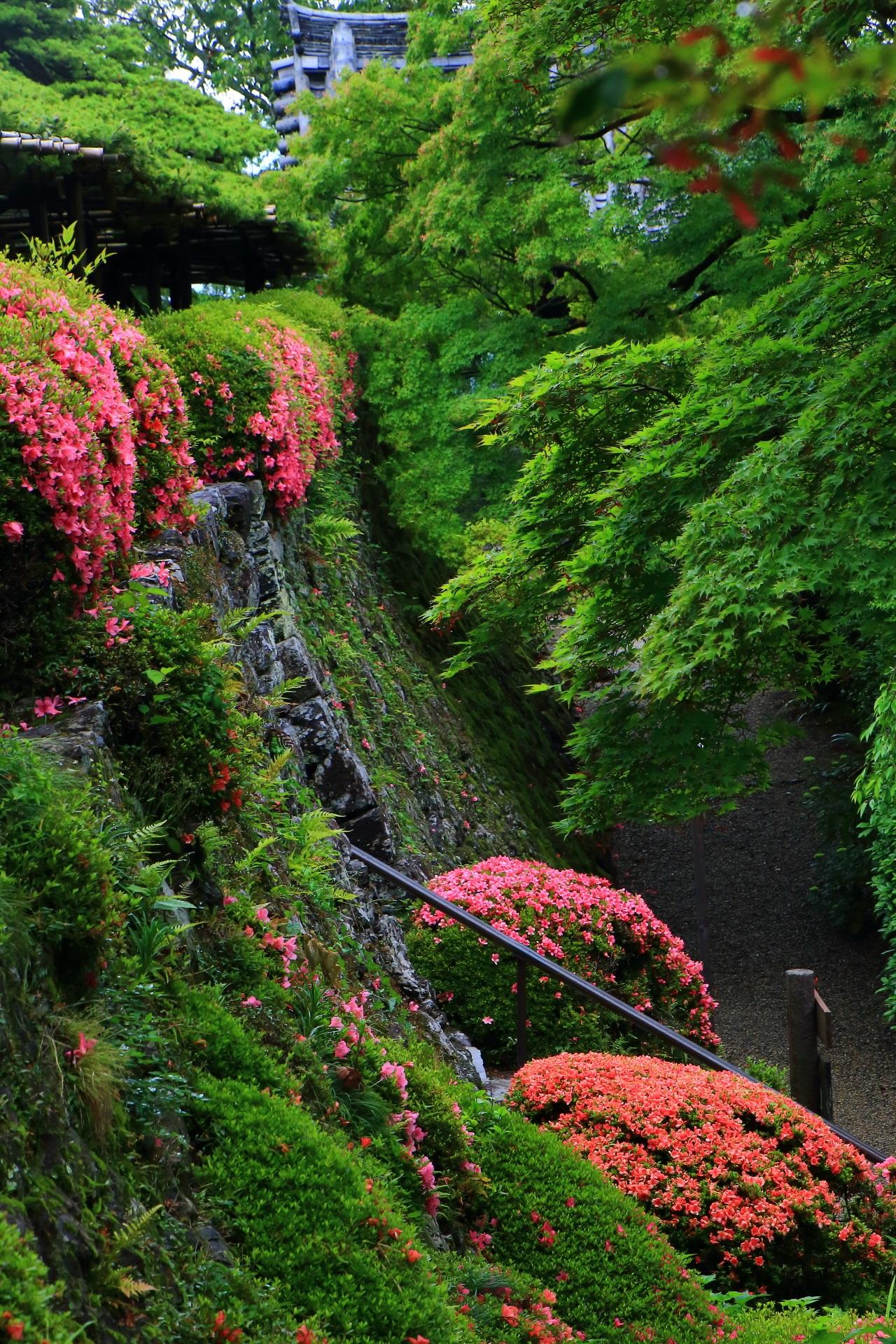深い緑に映える鮮やかなピンクや朱色のサツキ