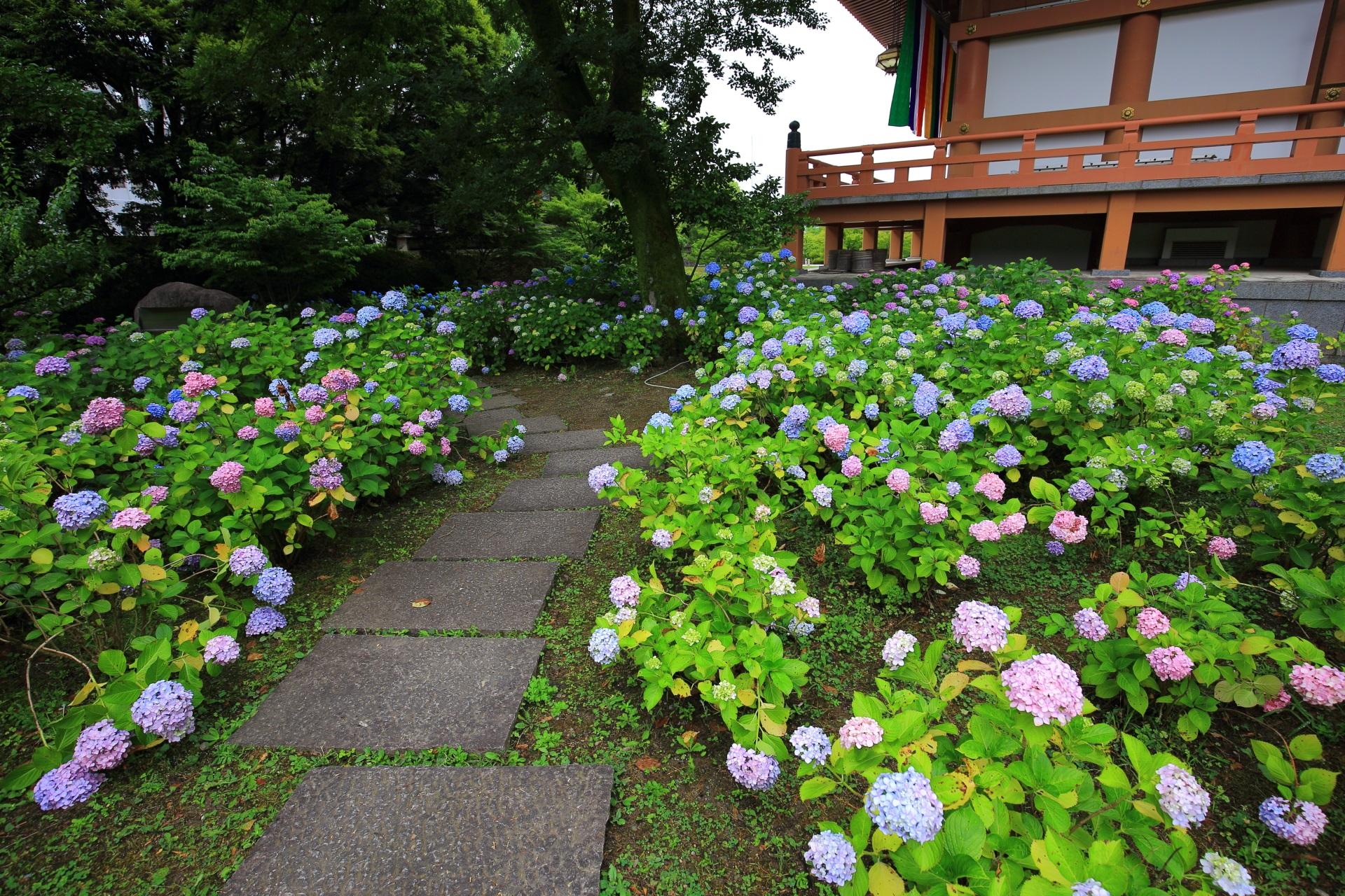 智積院の金堂裏の紫陽花