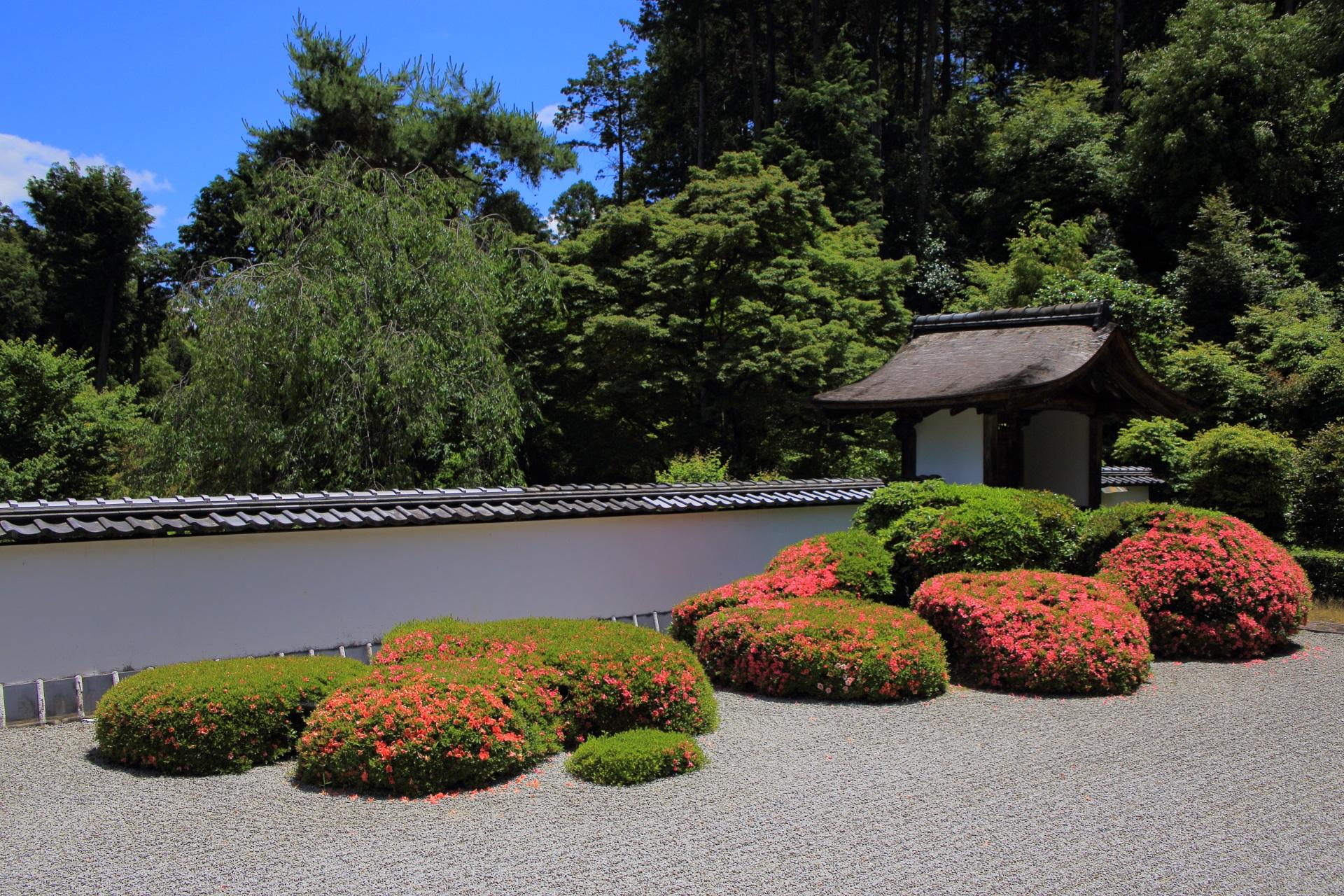 正伝寺の日が当たり煌びやかなサツキ
