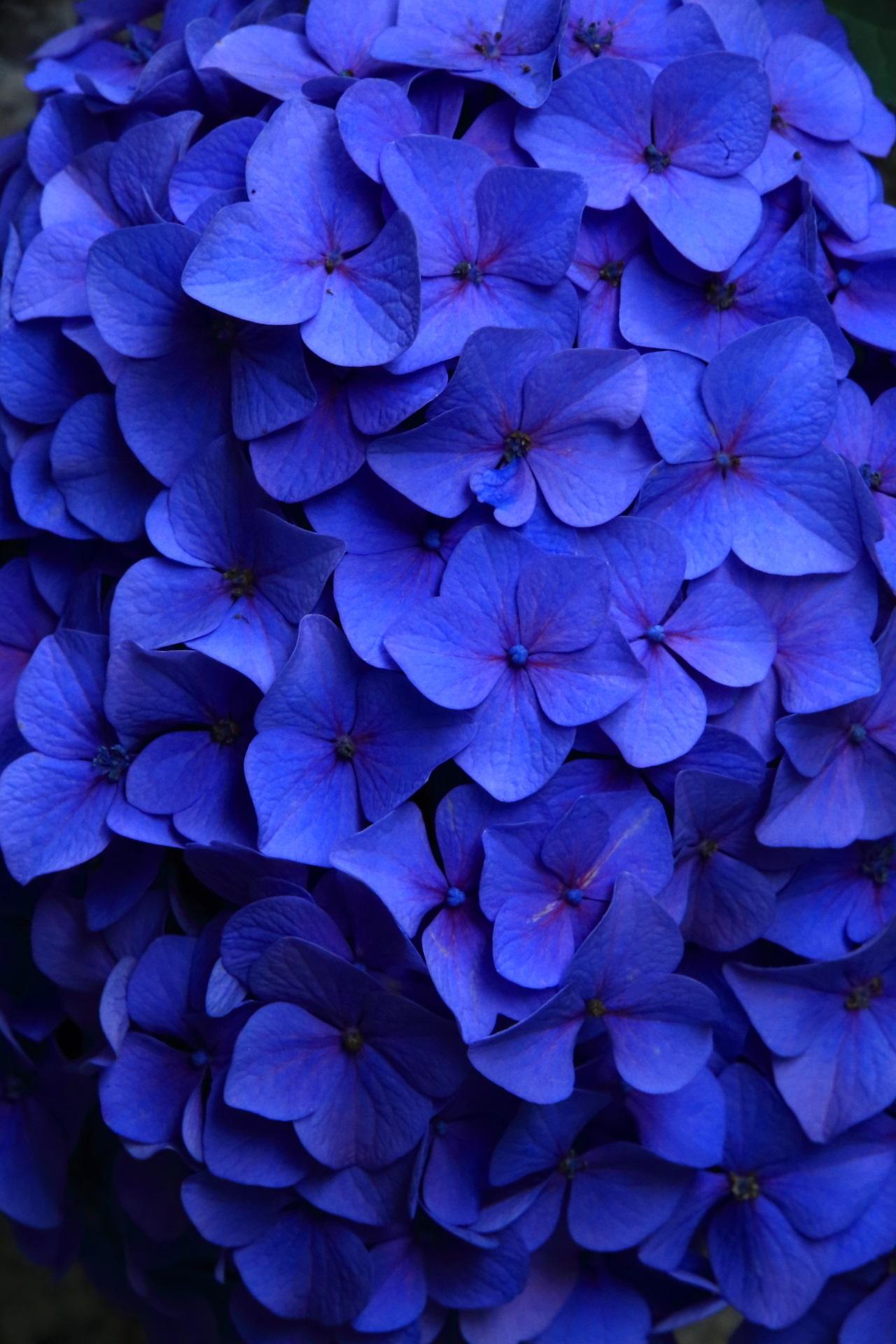知恩院の濃いブルーの艶やかな色合いの紫陽花