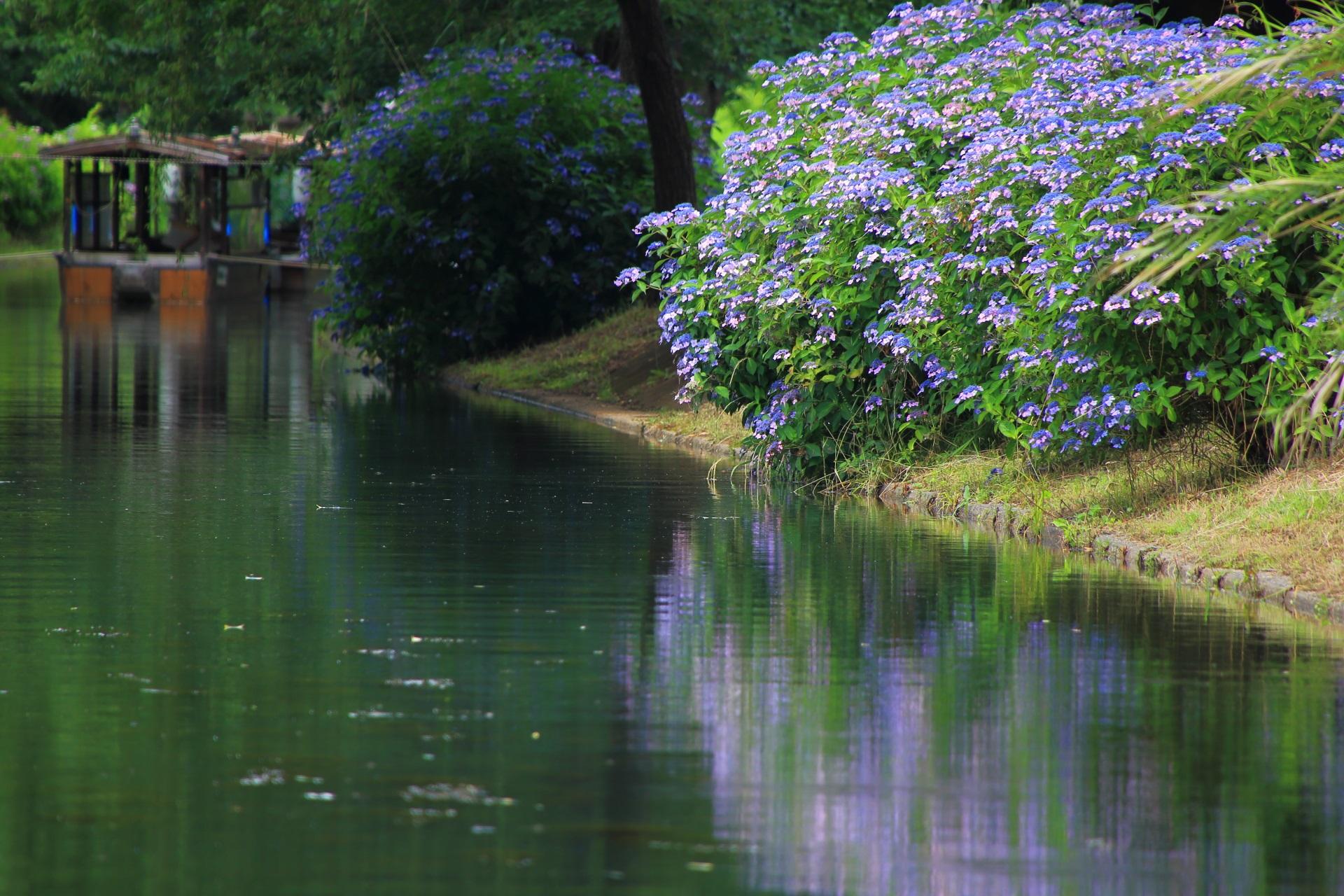 宇治川派流の青い額紫陽花と綺麗な水鏡