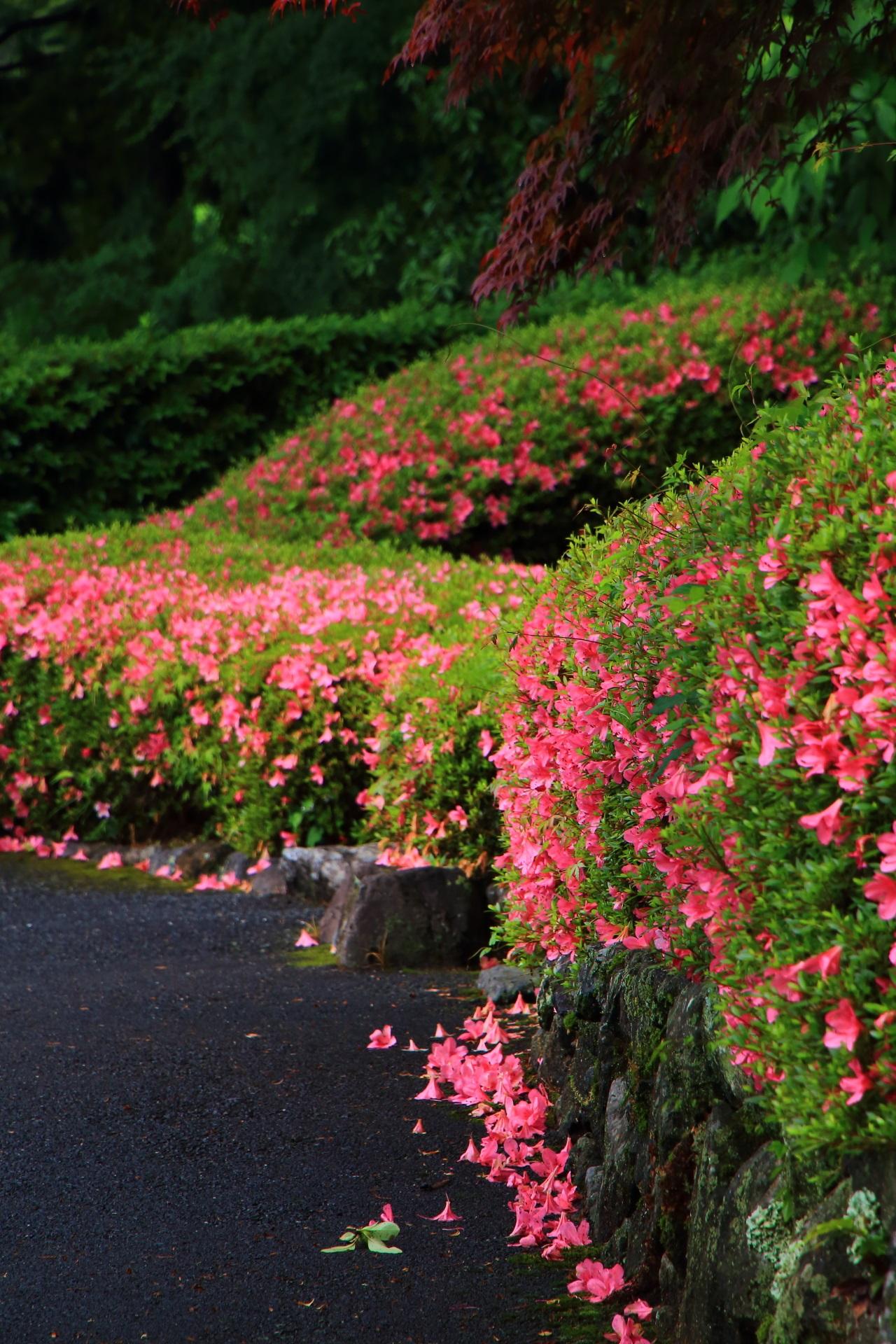 自然溢れる山寺の極上の輝く散ったサツキの花
