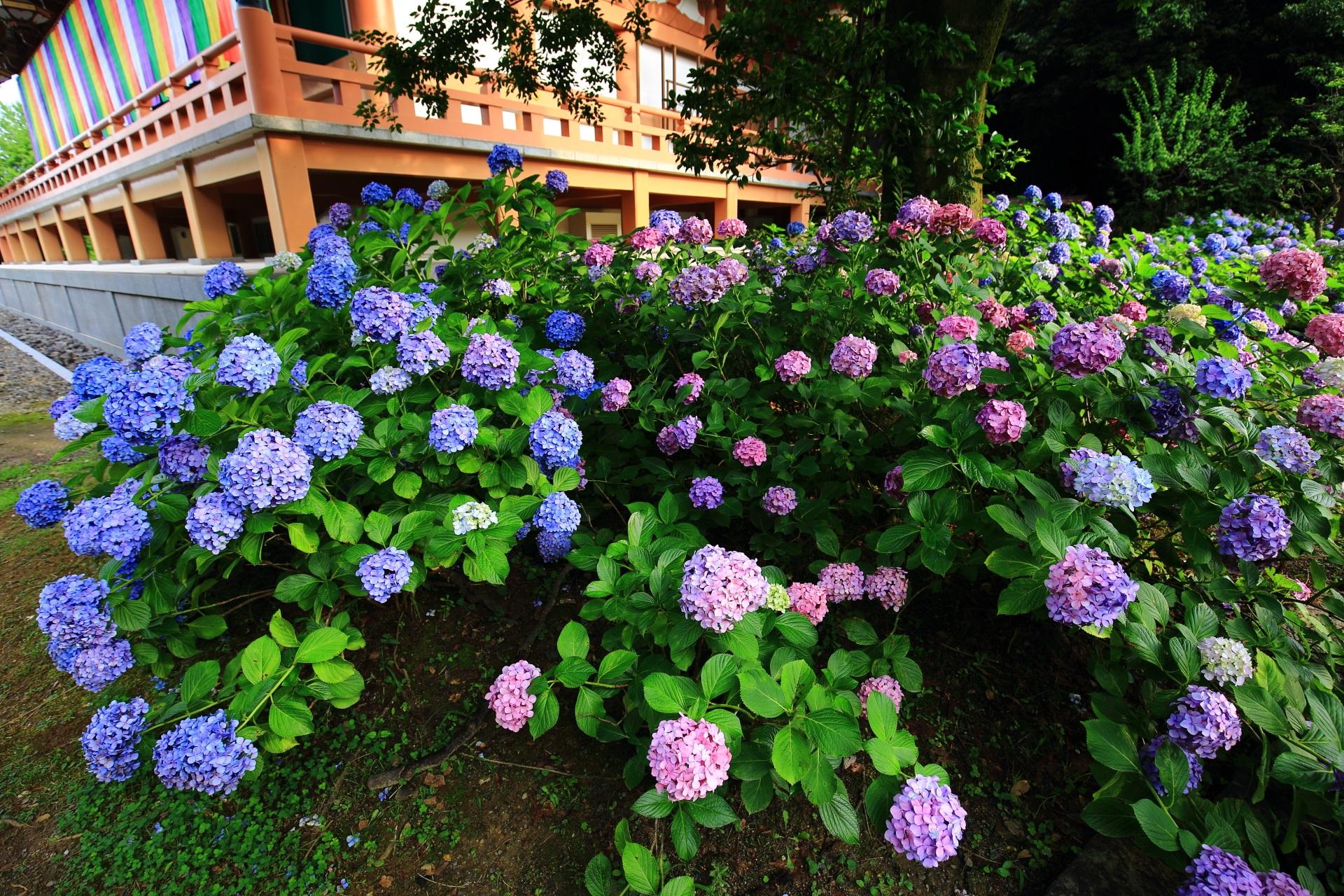 雨で元気になった紫陽花