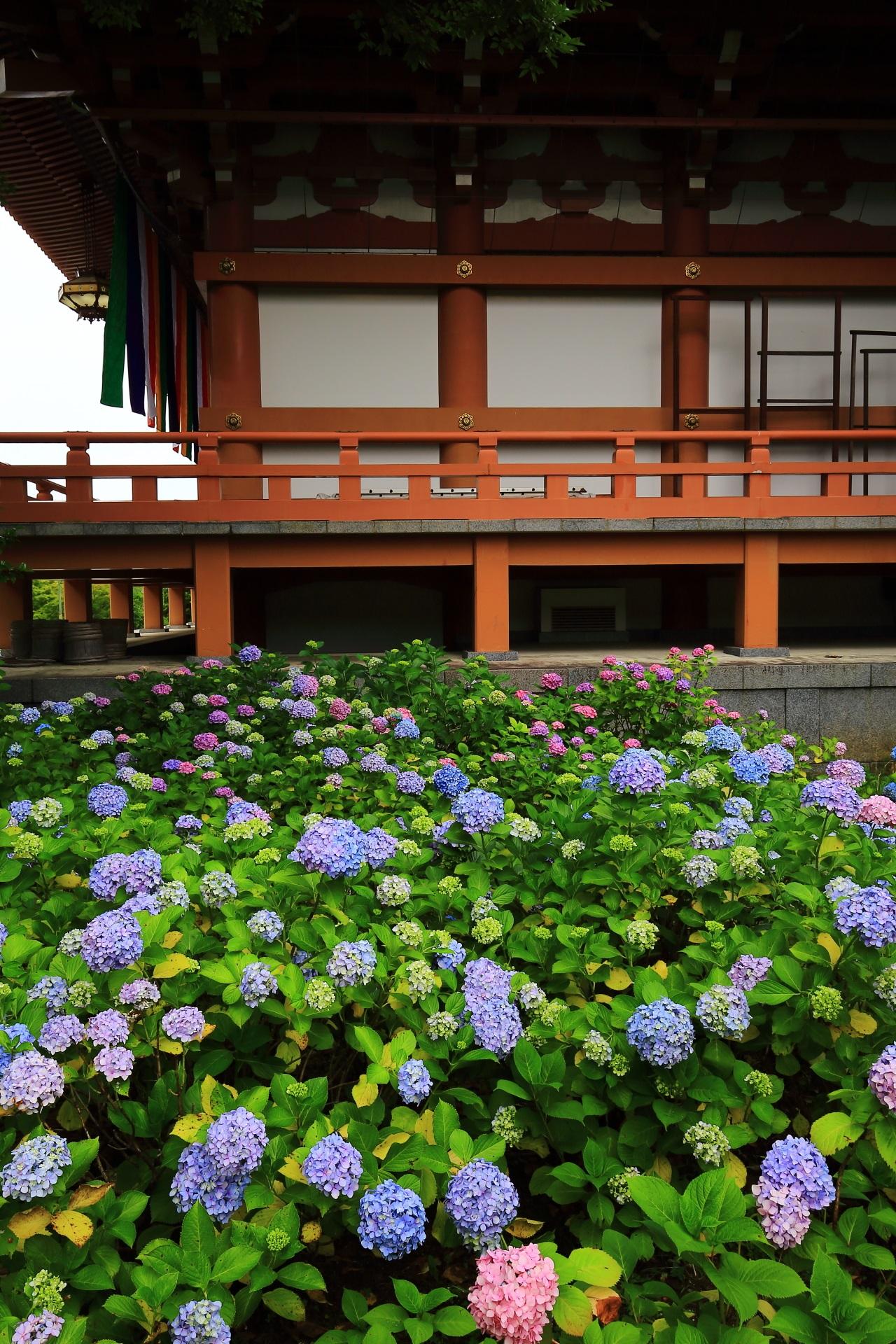 Kyoto Chisyaku-in Temple hydrangea